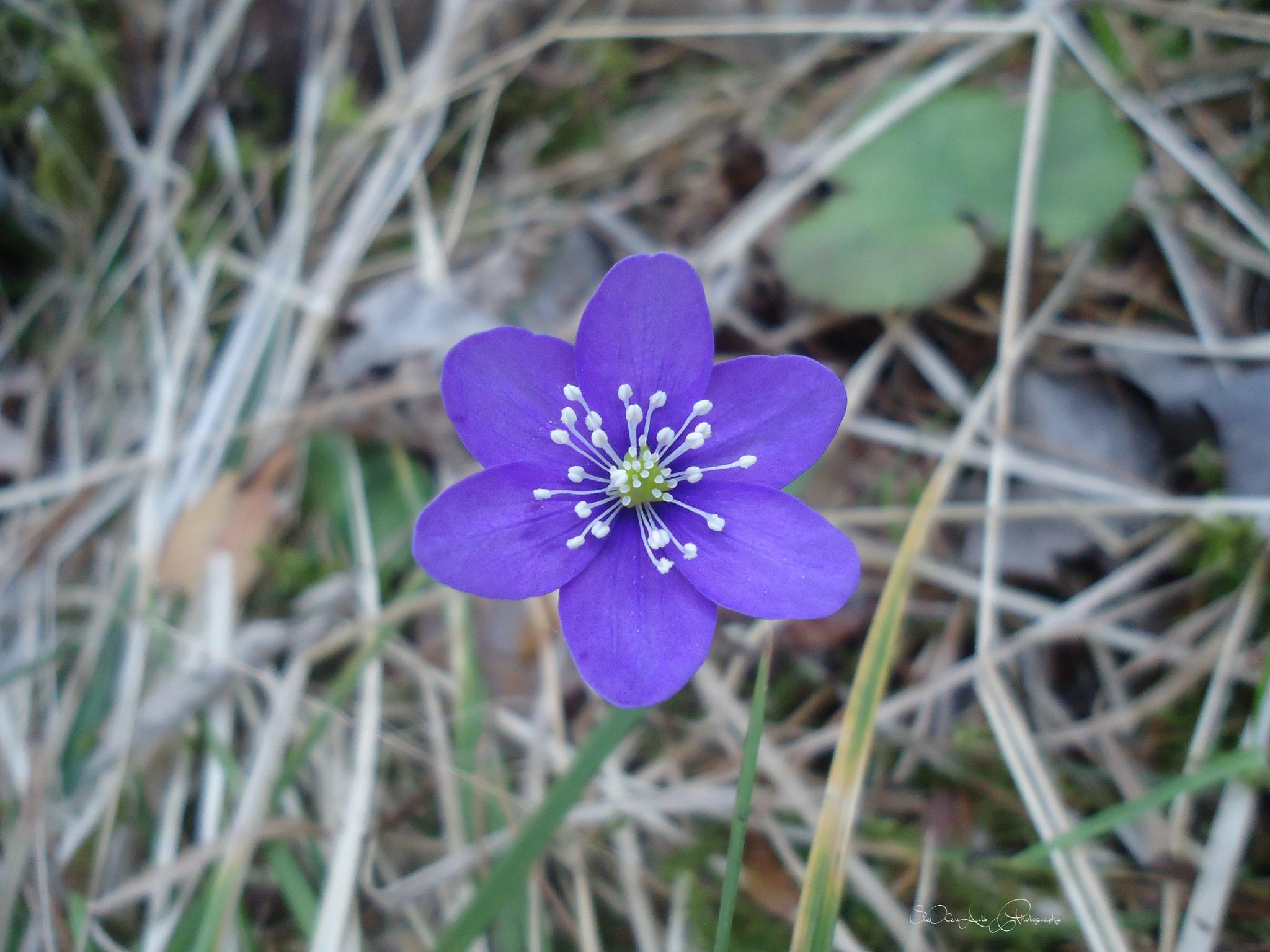 blue anemone by Sanna