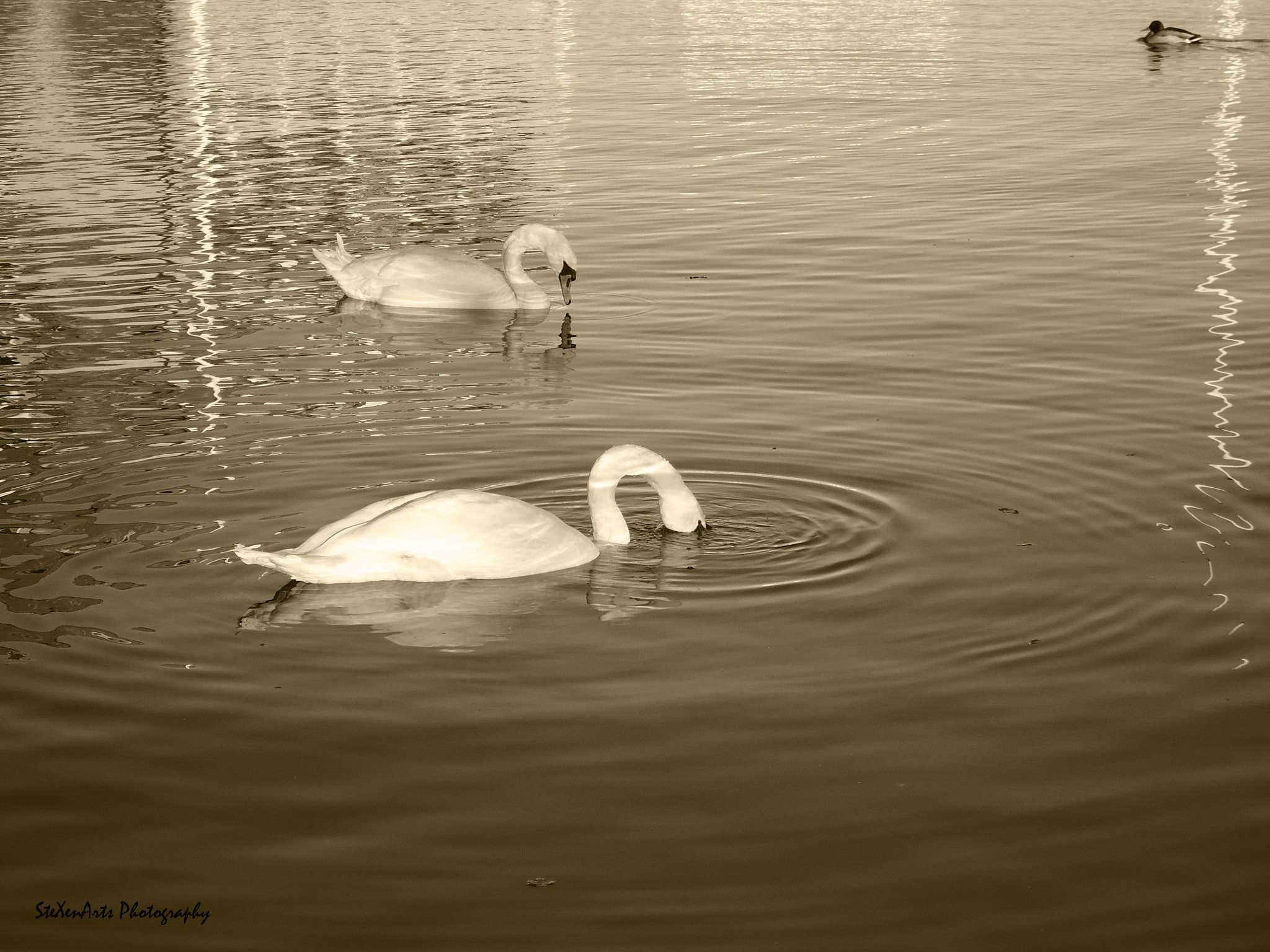 swan lake 2 by Sanna