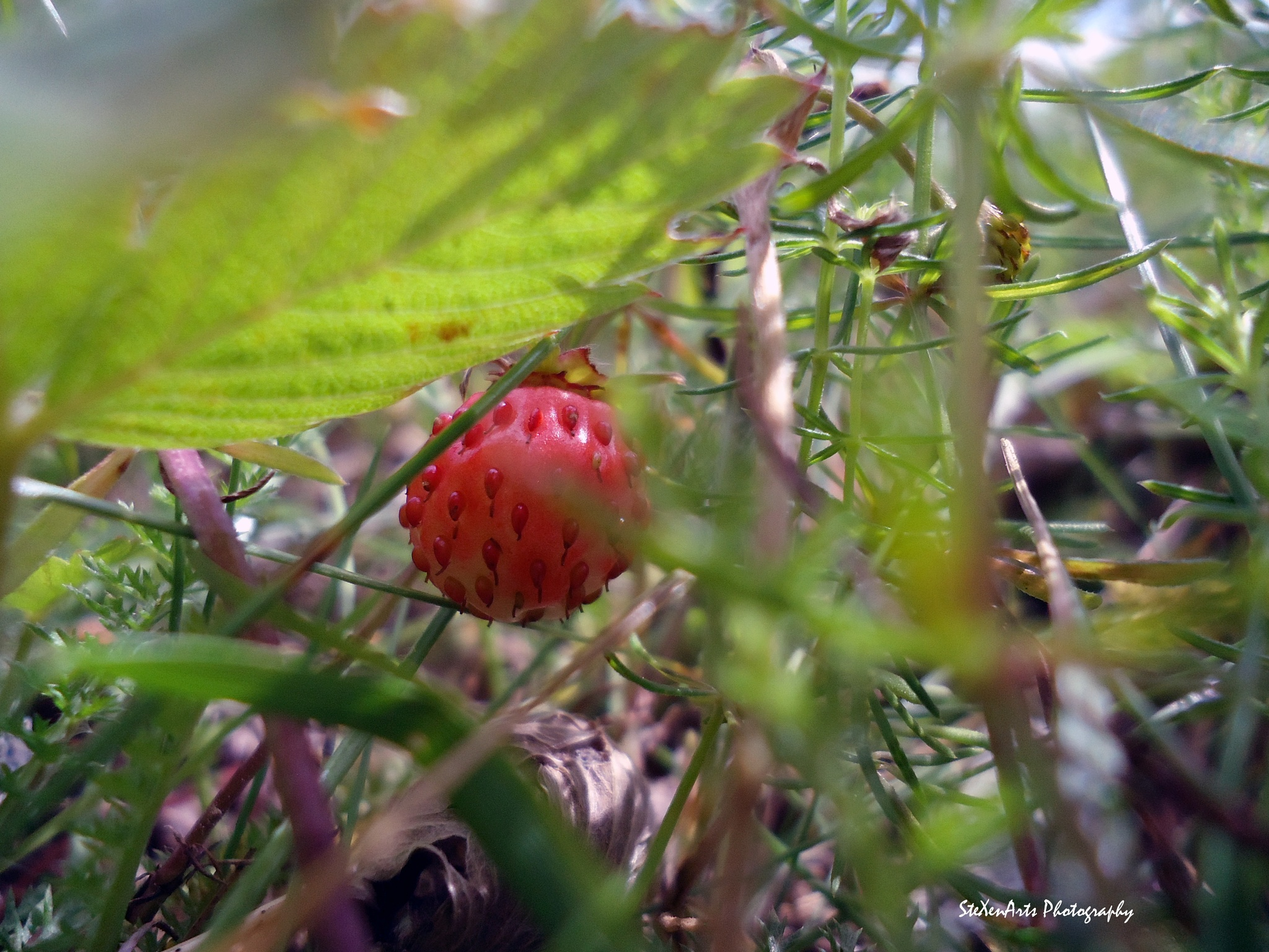 wild strawberry by SteXenArts Photography