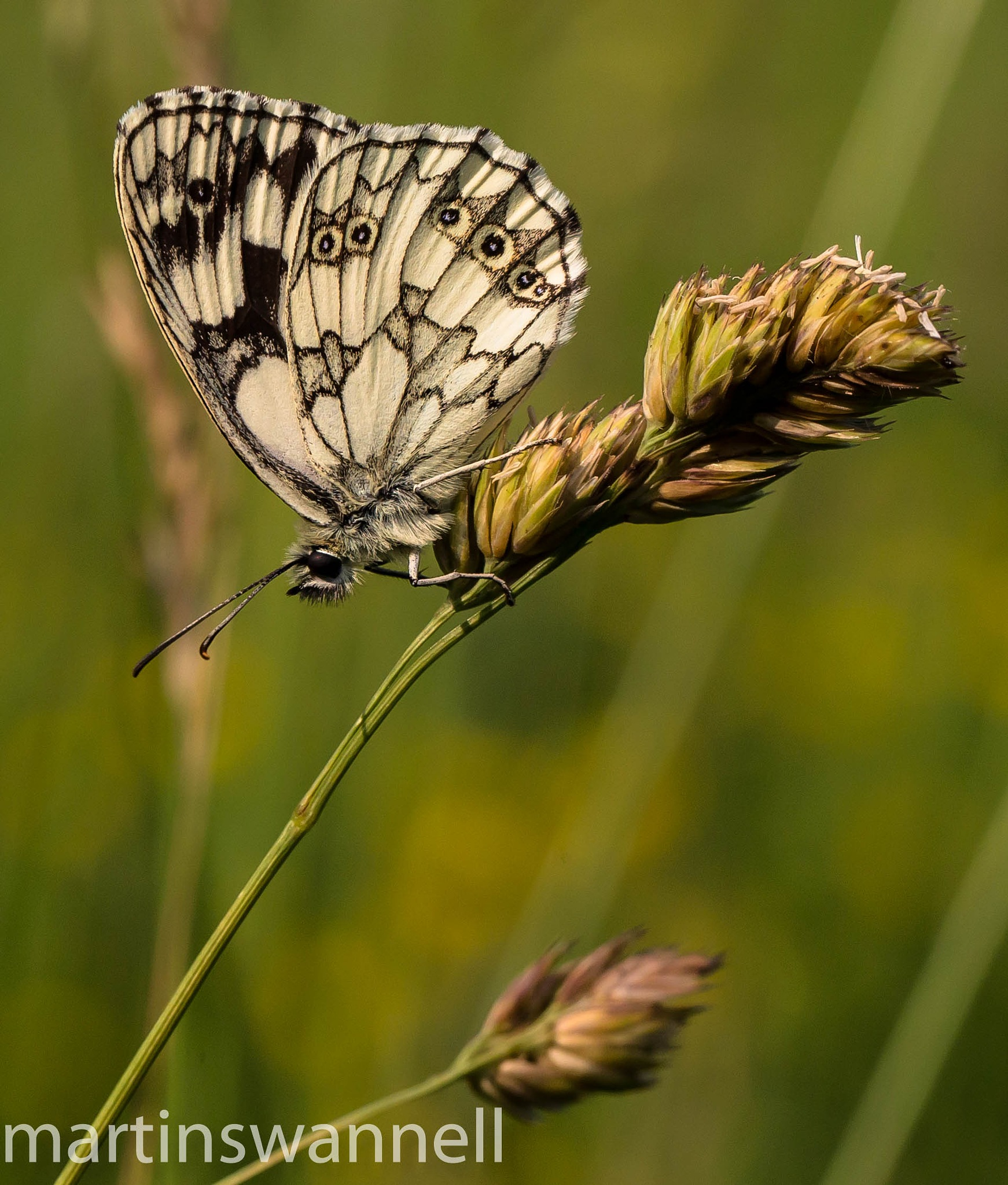 Marbled White butterfly by MartinSwannell