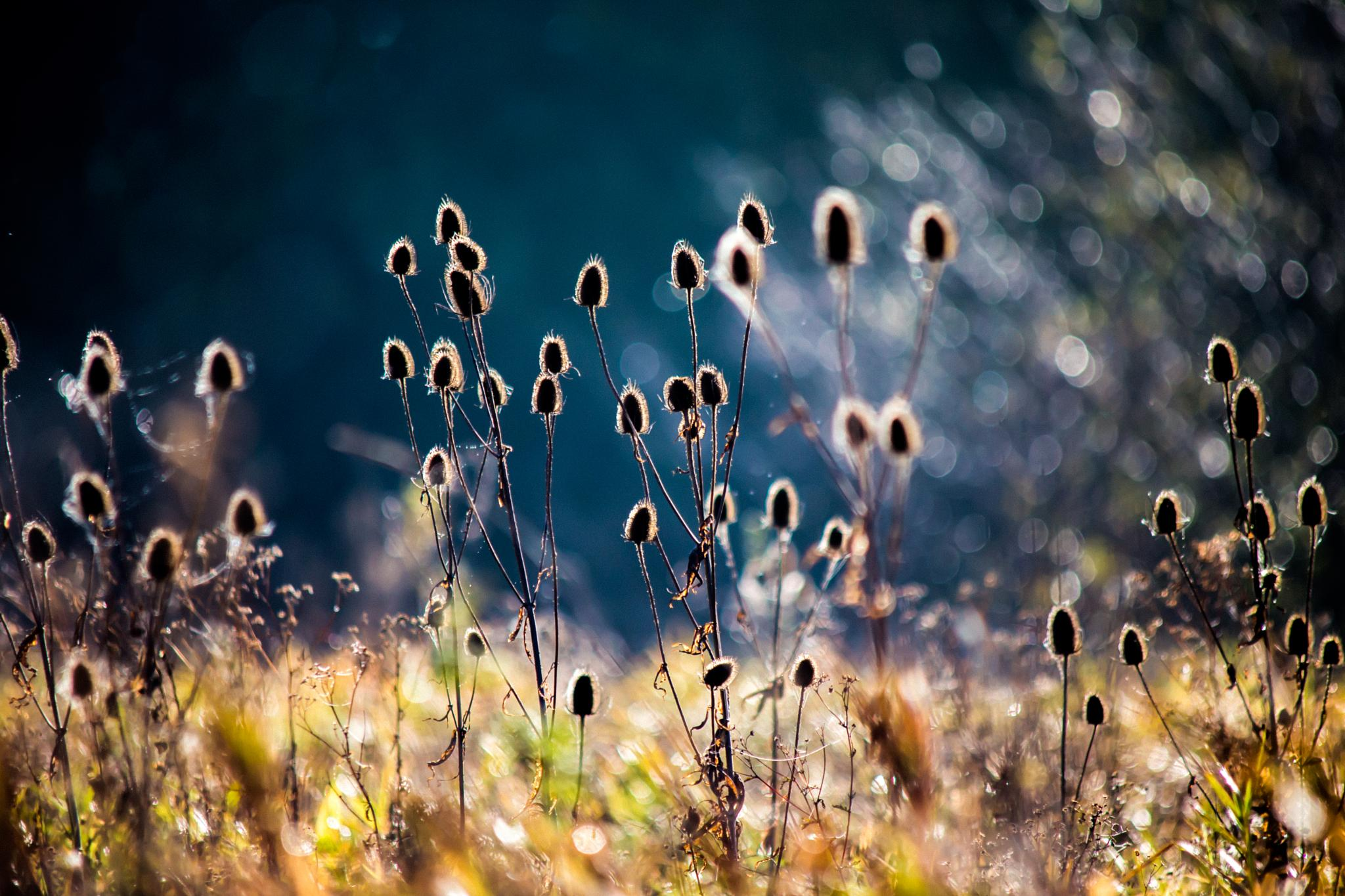 Teasels by MartinSwannell