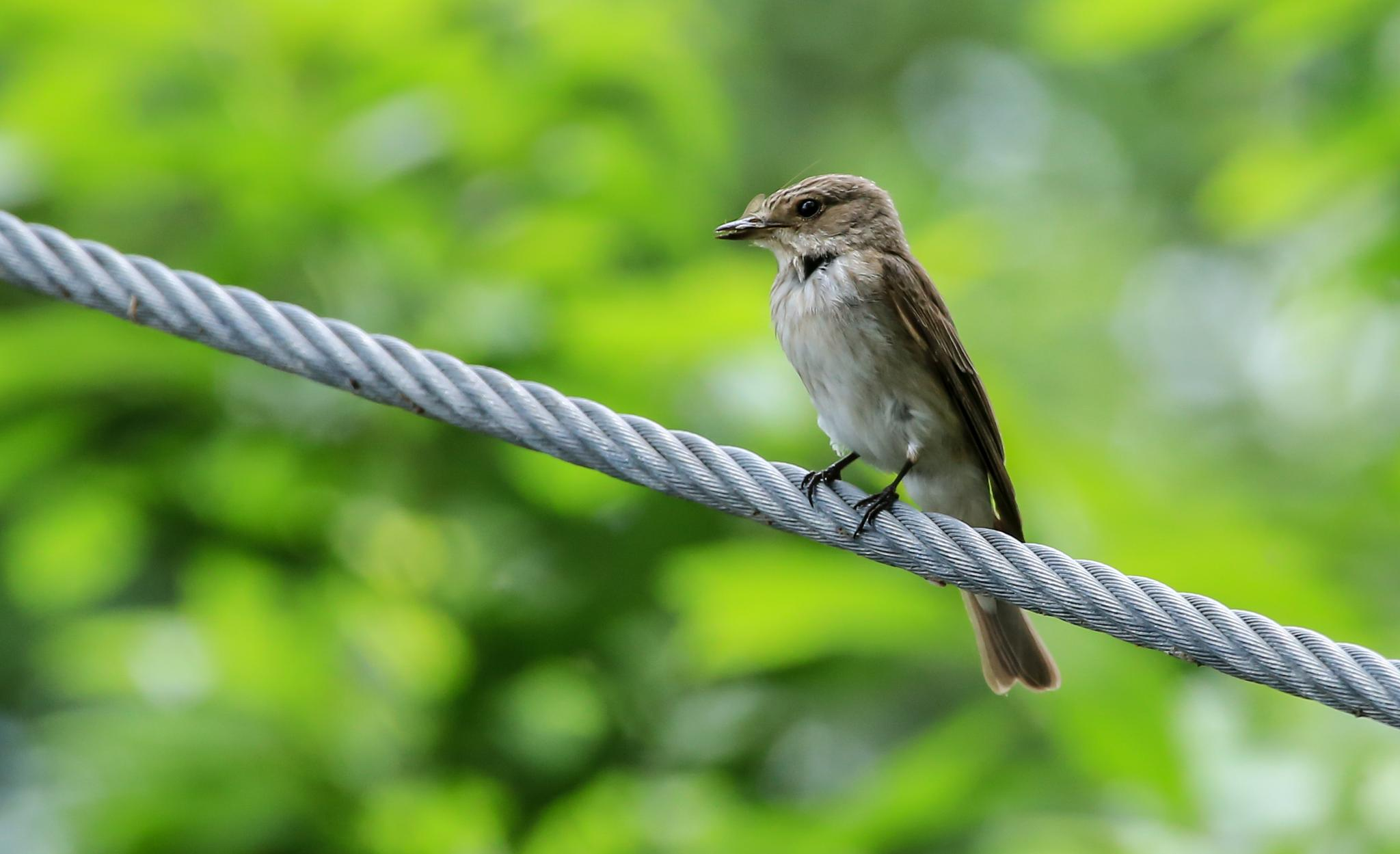 Spotted Flycatcher by MartinSwannell