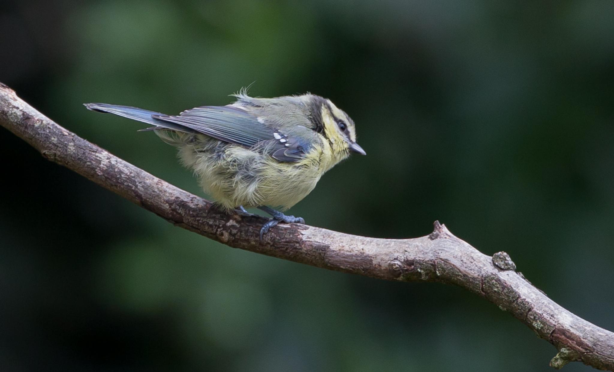 Blue Tit   juvenile by MartinSwannell