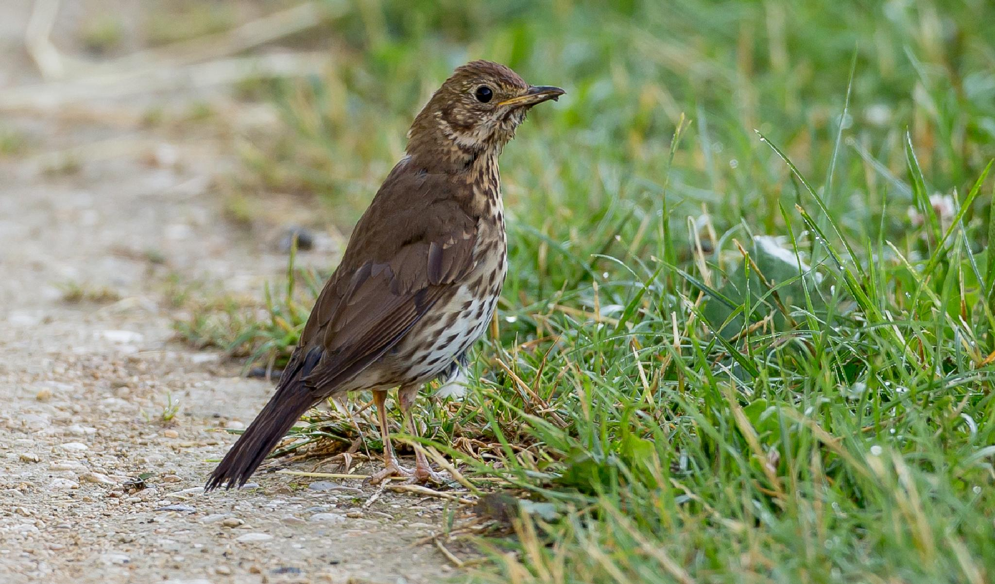 Song Thrush by MartinSwannell