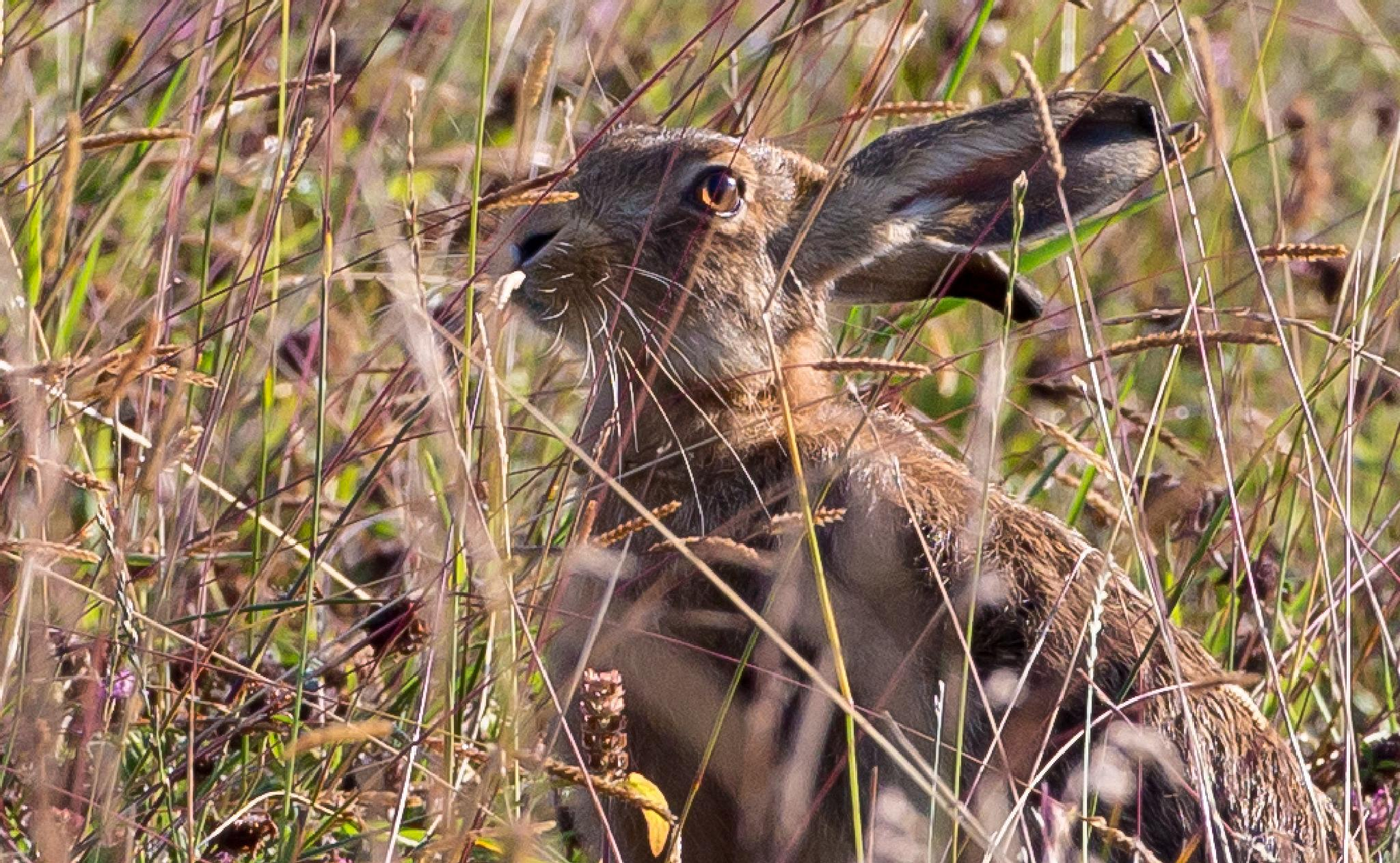 Brown Hare by MartinSwannell