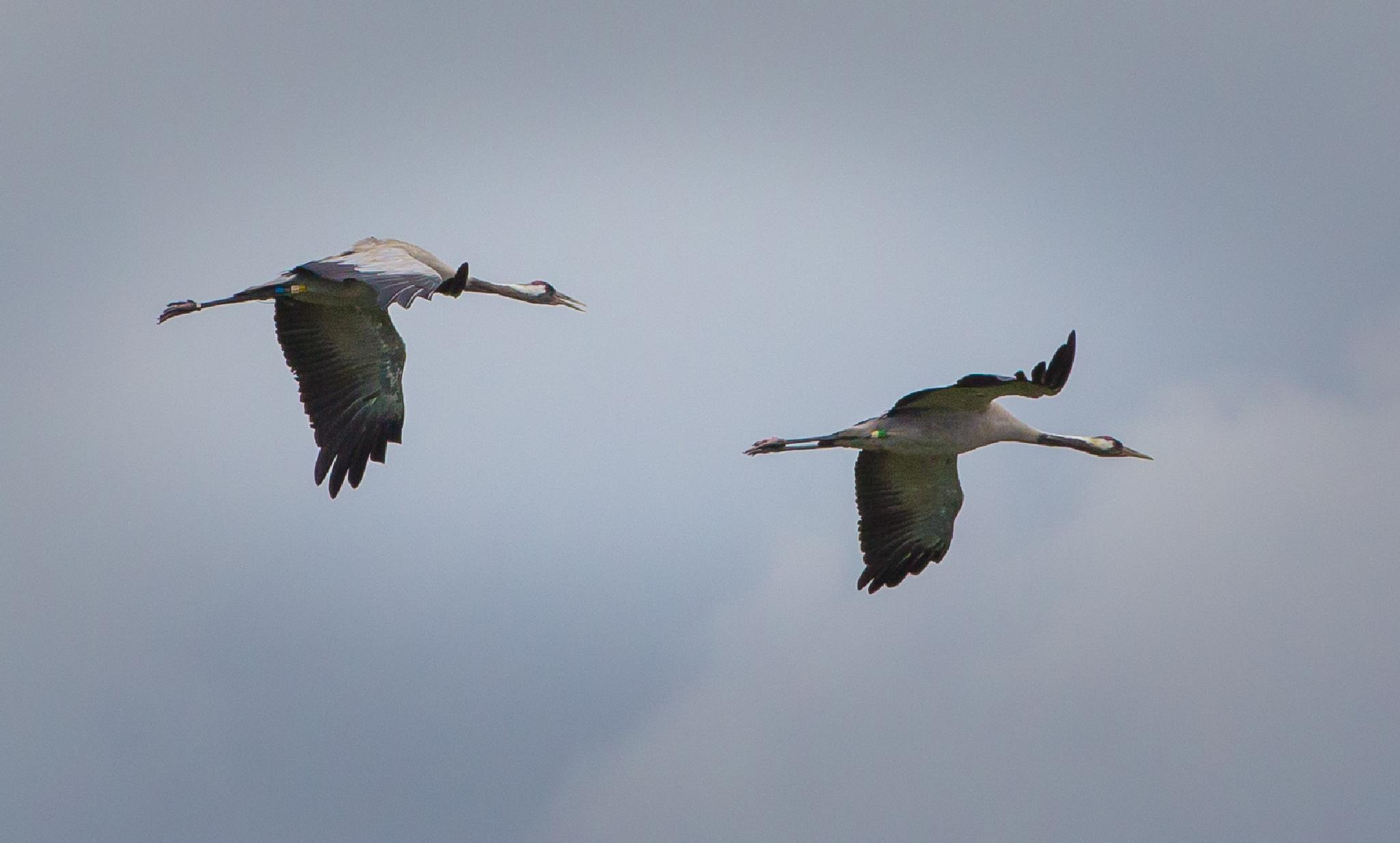 Common Cranes by MartinSwannell