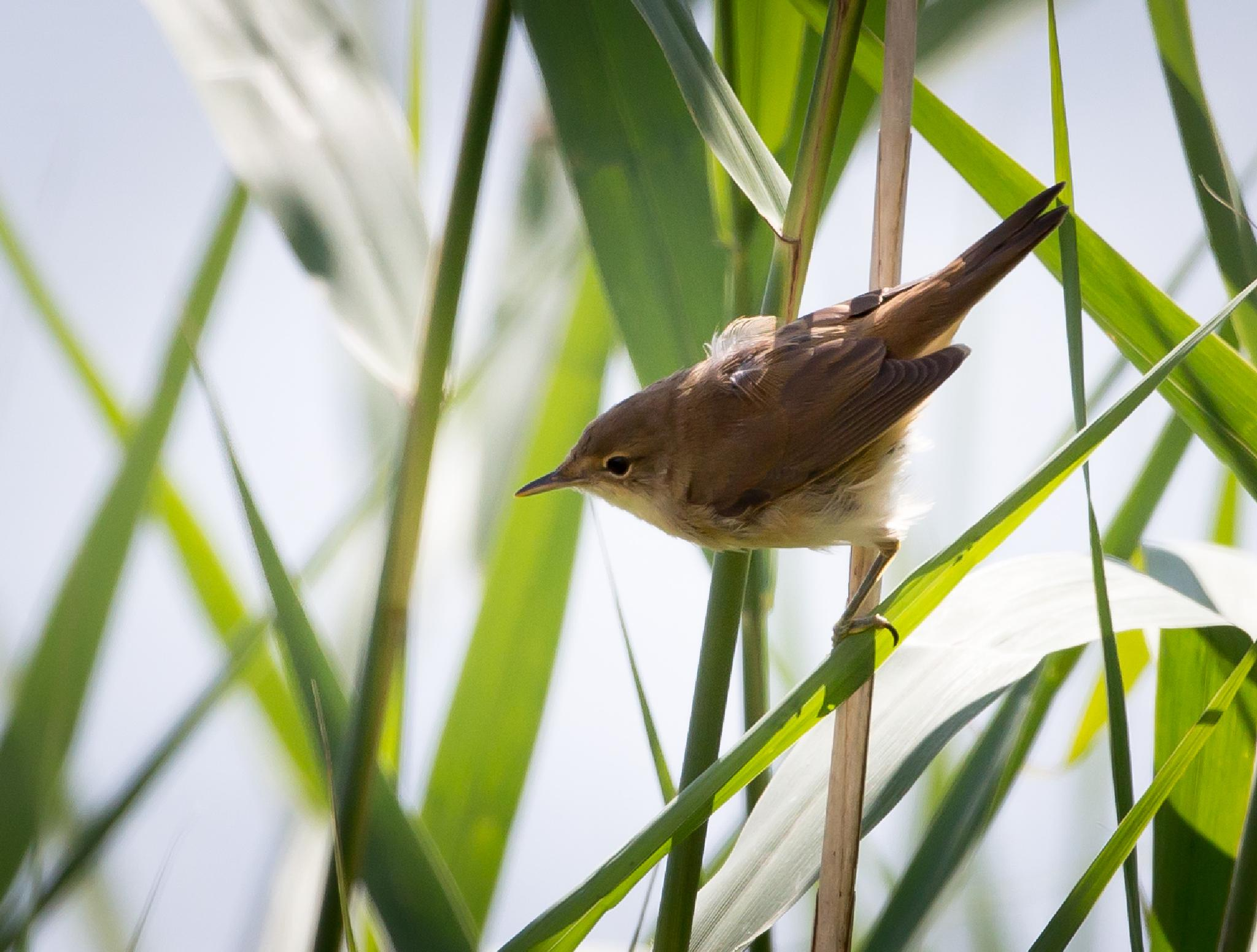 Reed Warbler by MartinSwannell