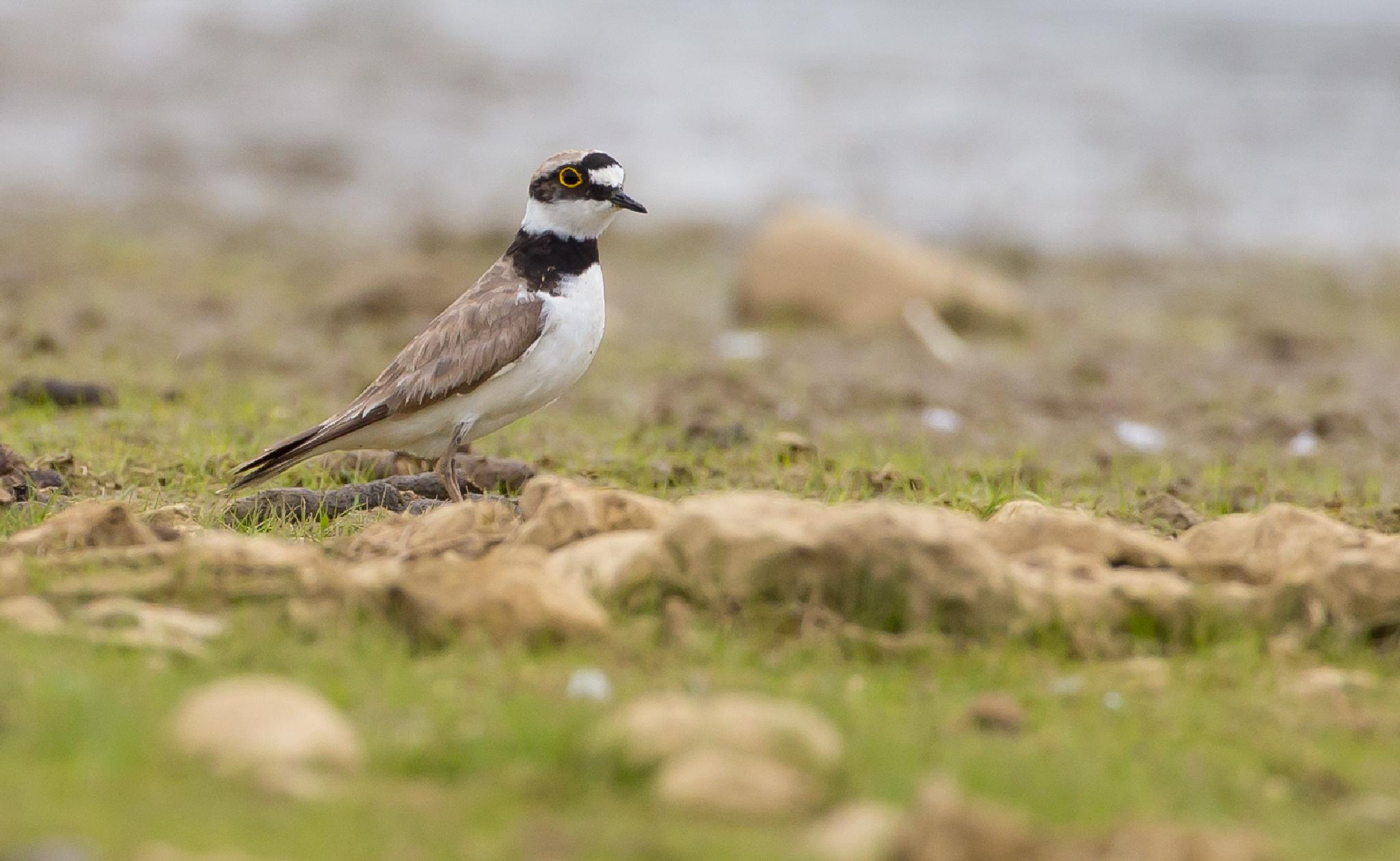Little-ringed Plover by MartinSwannell