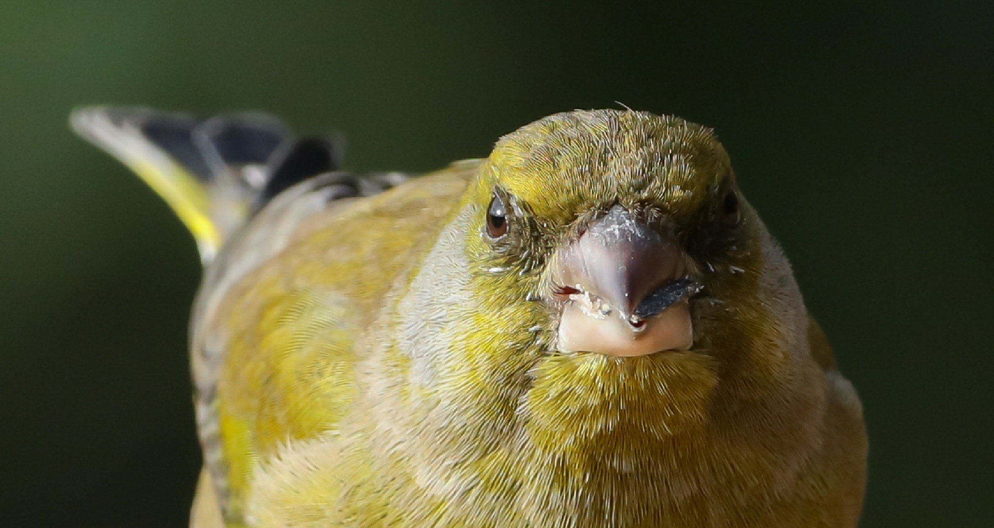 Greenfinch    ......in yer face! by MartinSwannell