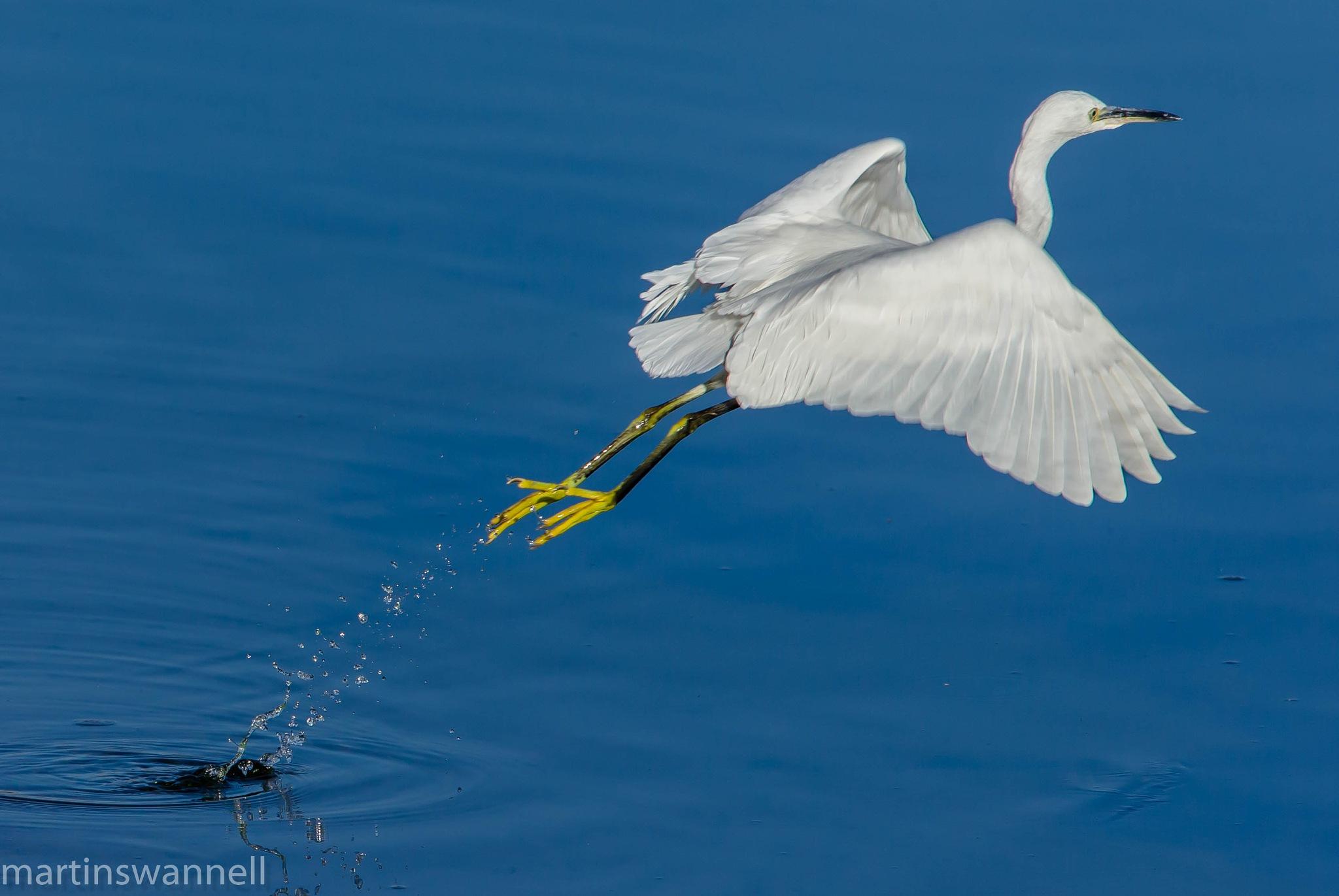 Little Egret...........lift off by MartinSwannell