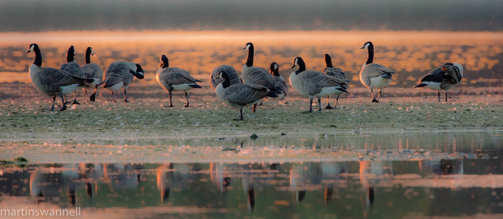 Canada Geese at Dusk by MartinSwannell
