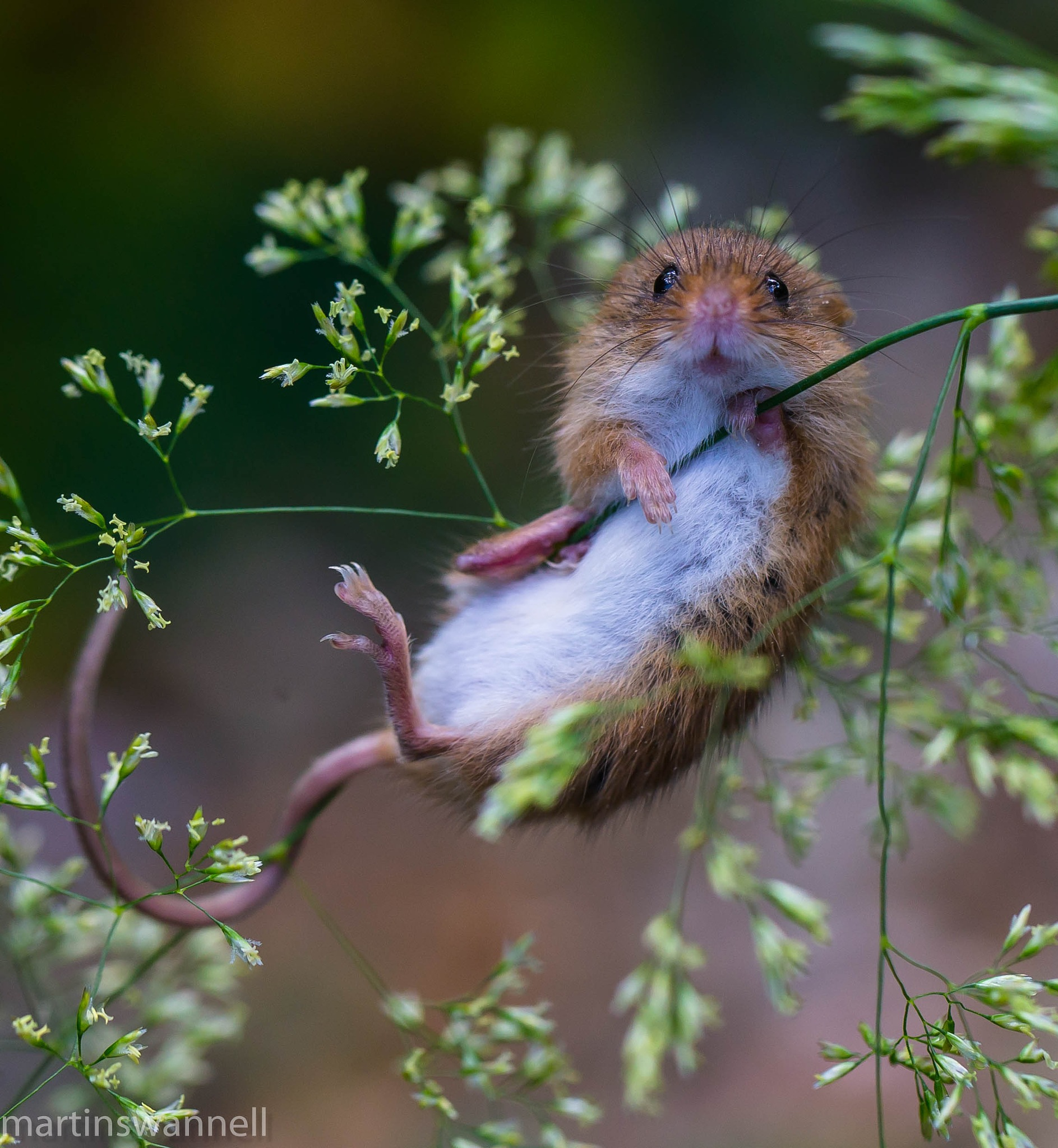 Harvest Mouse by MartinSwannell