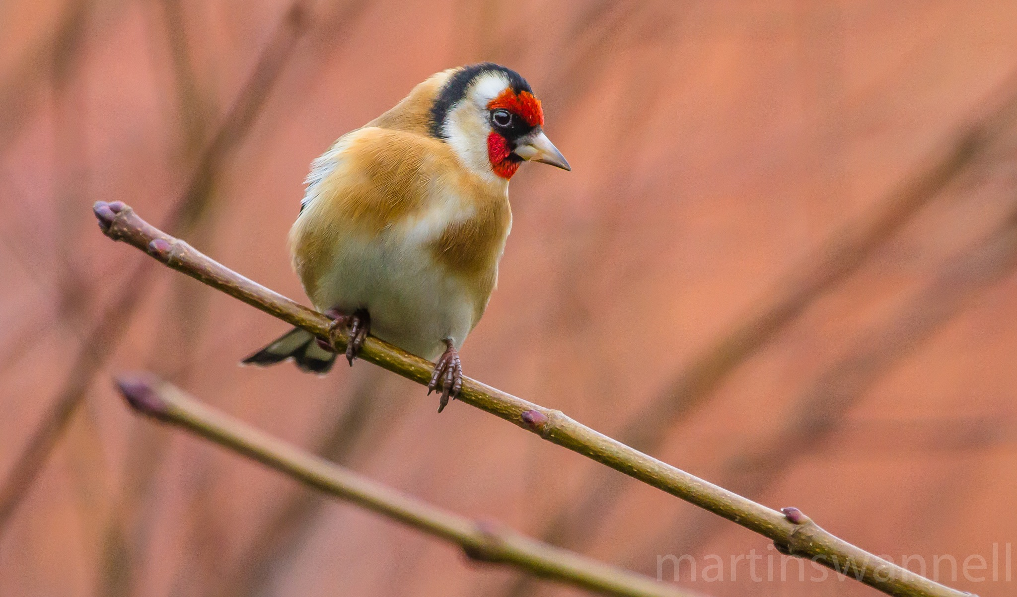 Goldfinch by MartinSwannell
