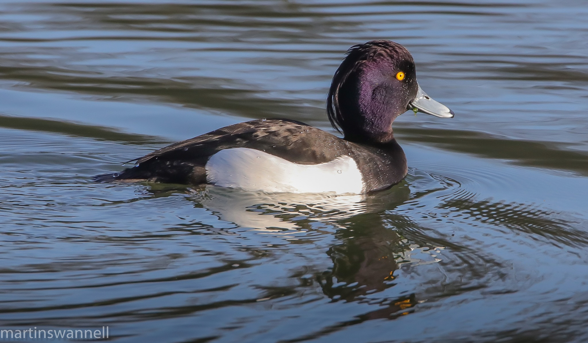 Tufted Duck  drake by MartinSwannell