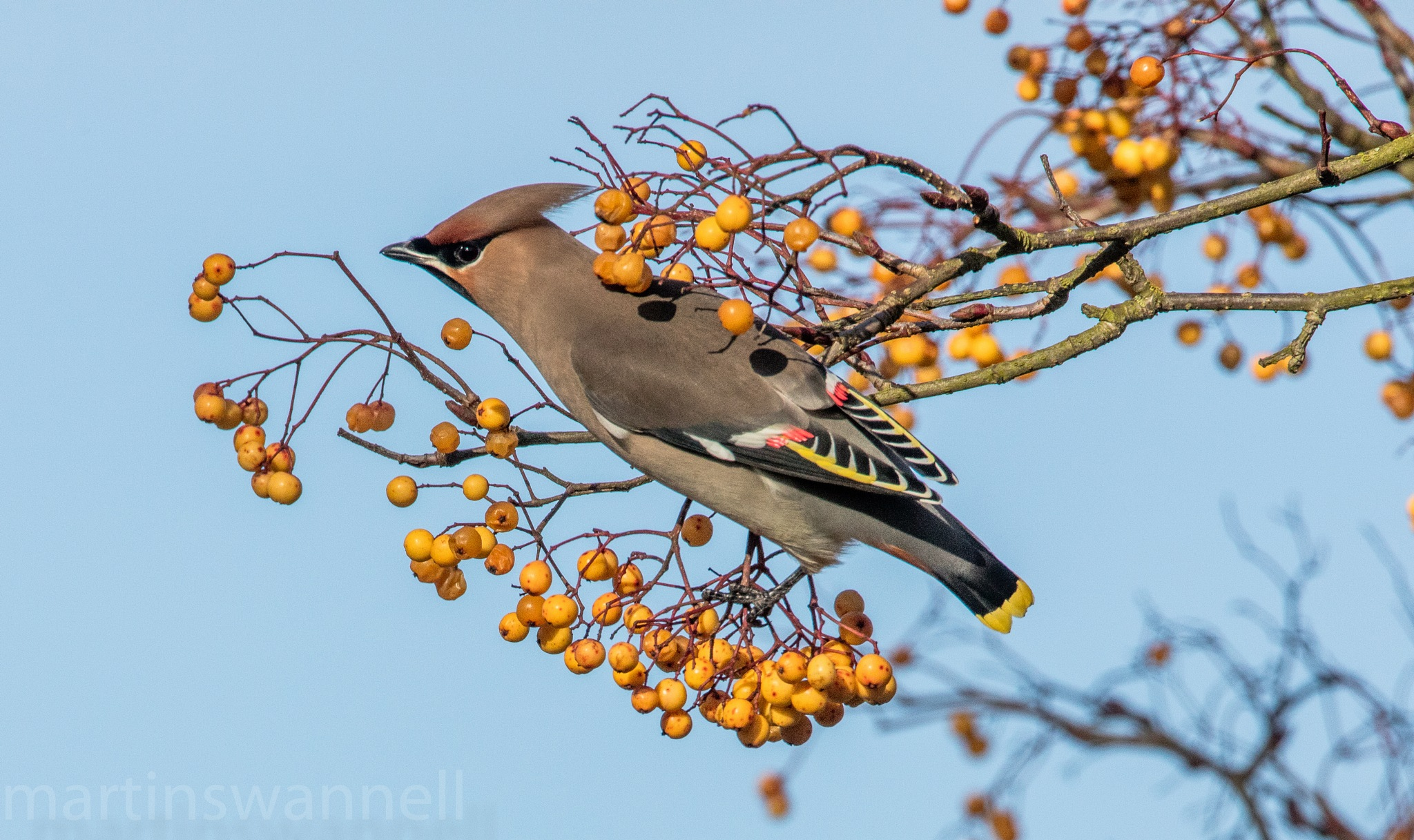 Waxwing by MartinSwannell