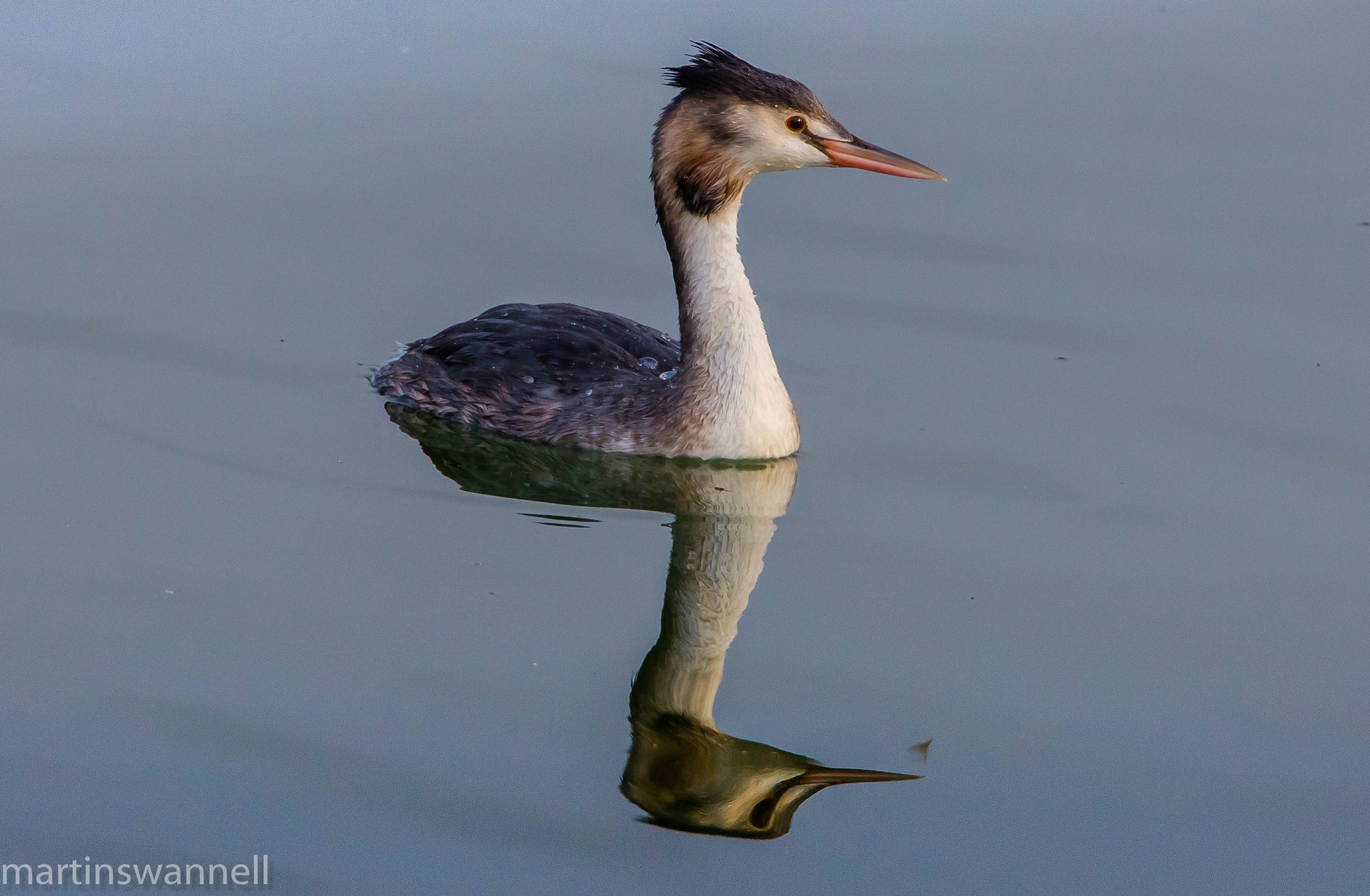 Great-crested Grebe by MartinSwannell