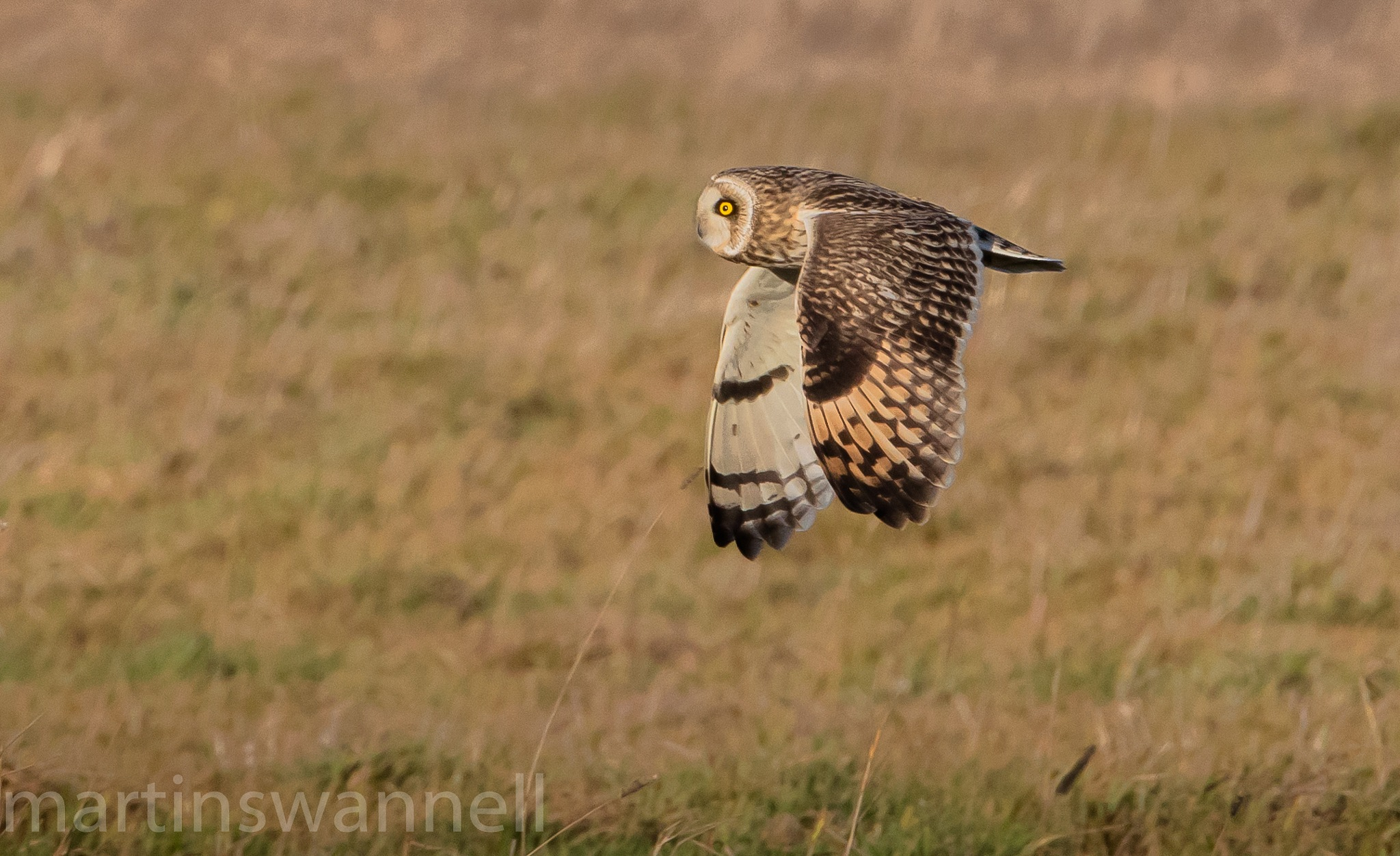 Short-eared Owl by MartinSwannell
