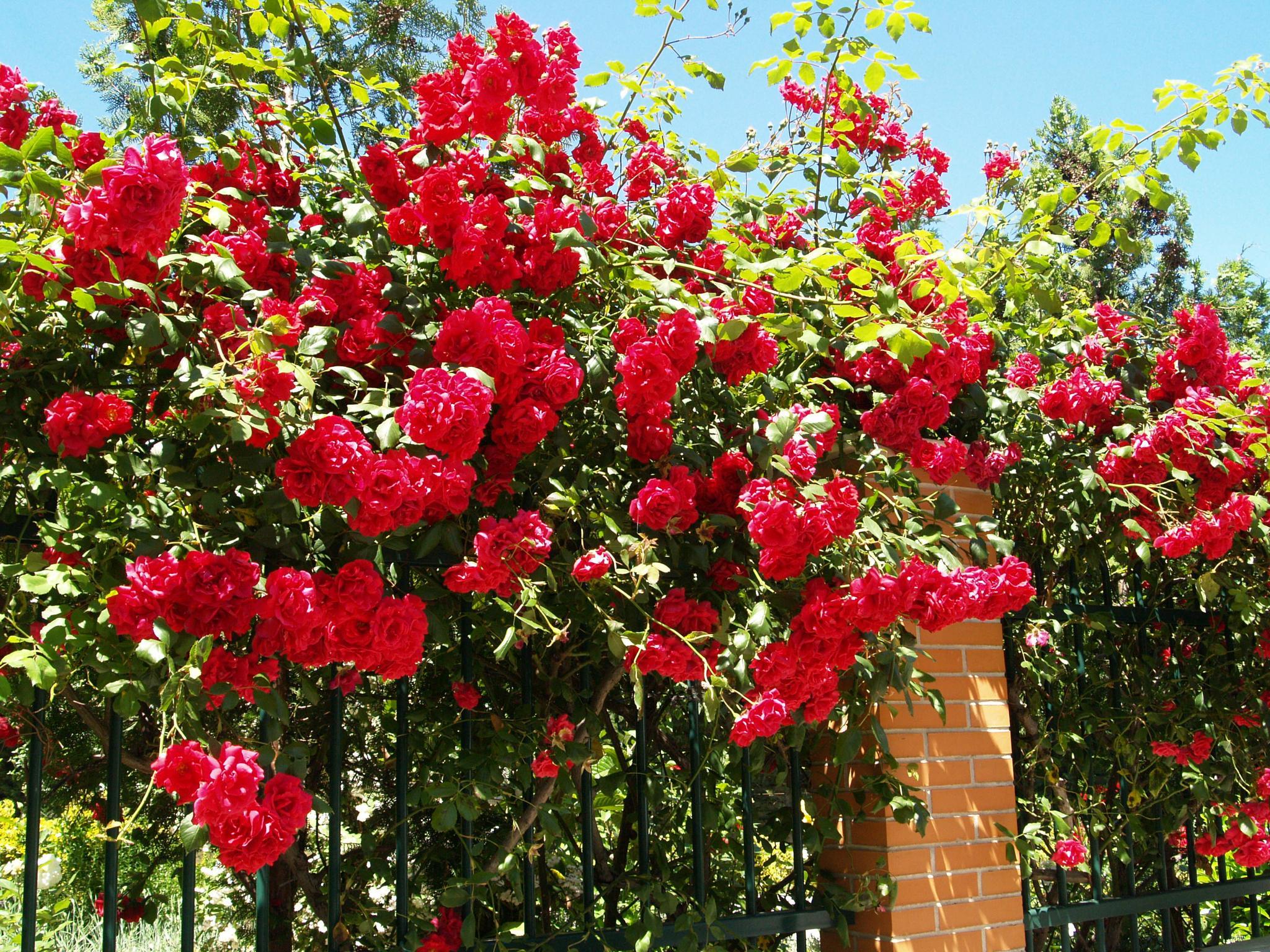 Roses by ester.ayerdi