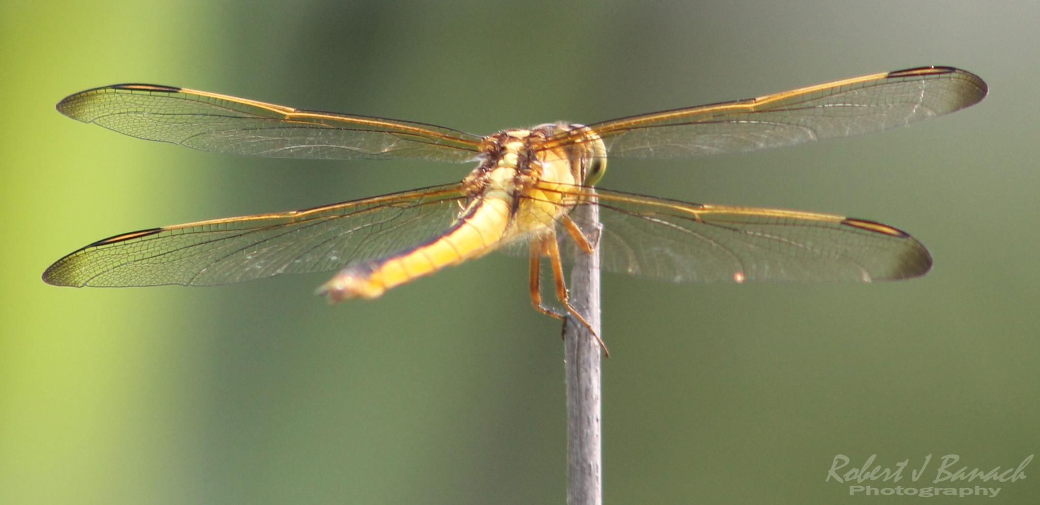 Needham's Skimmer Dragonfly by Robert J Banach