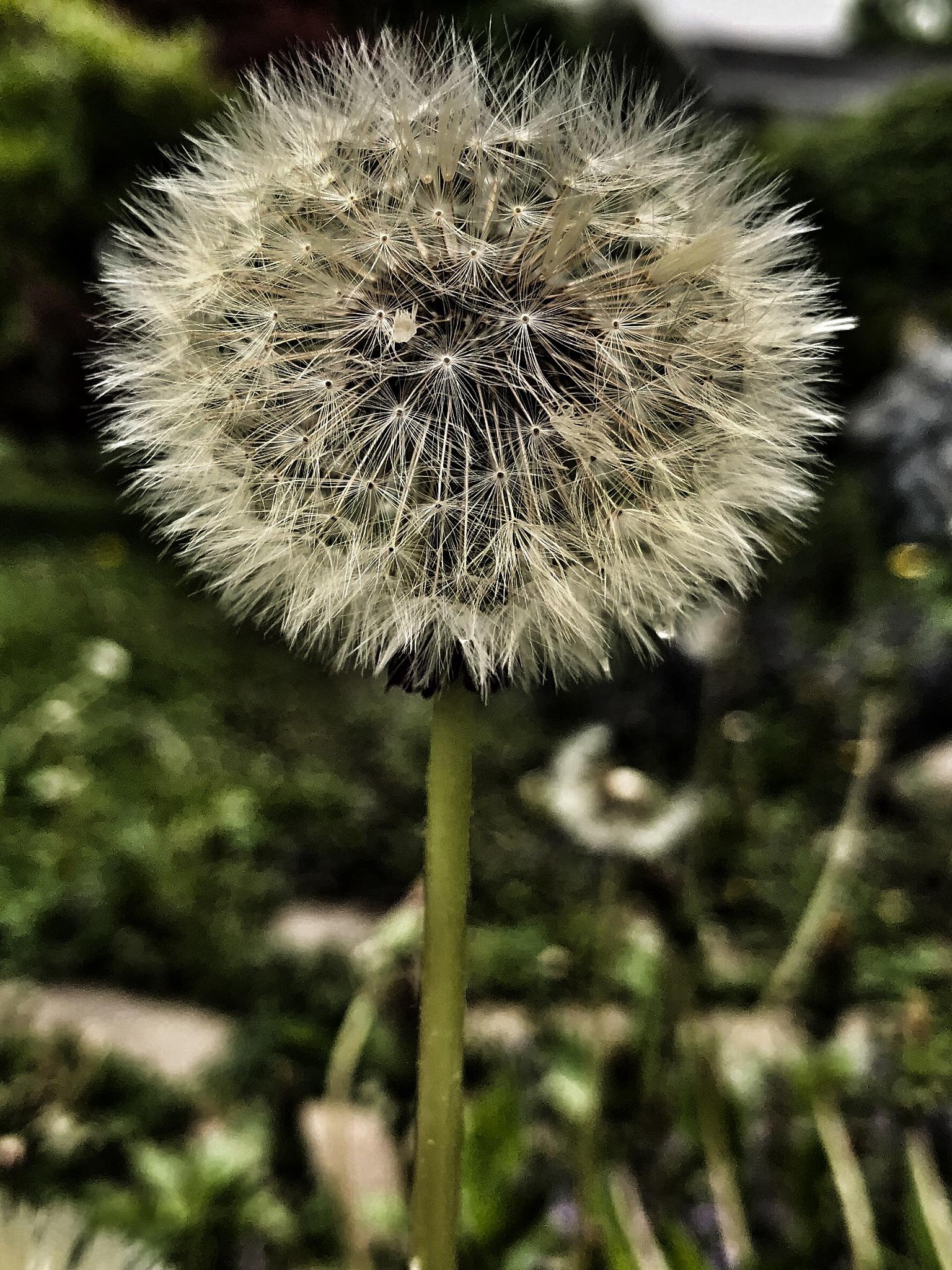 Dandelion  by Thomas Merring