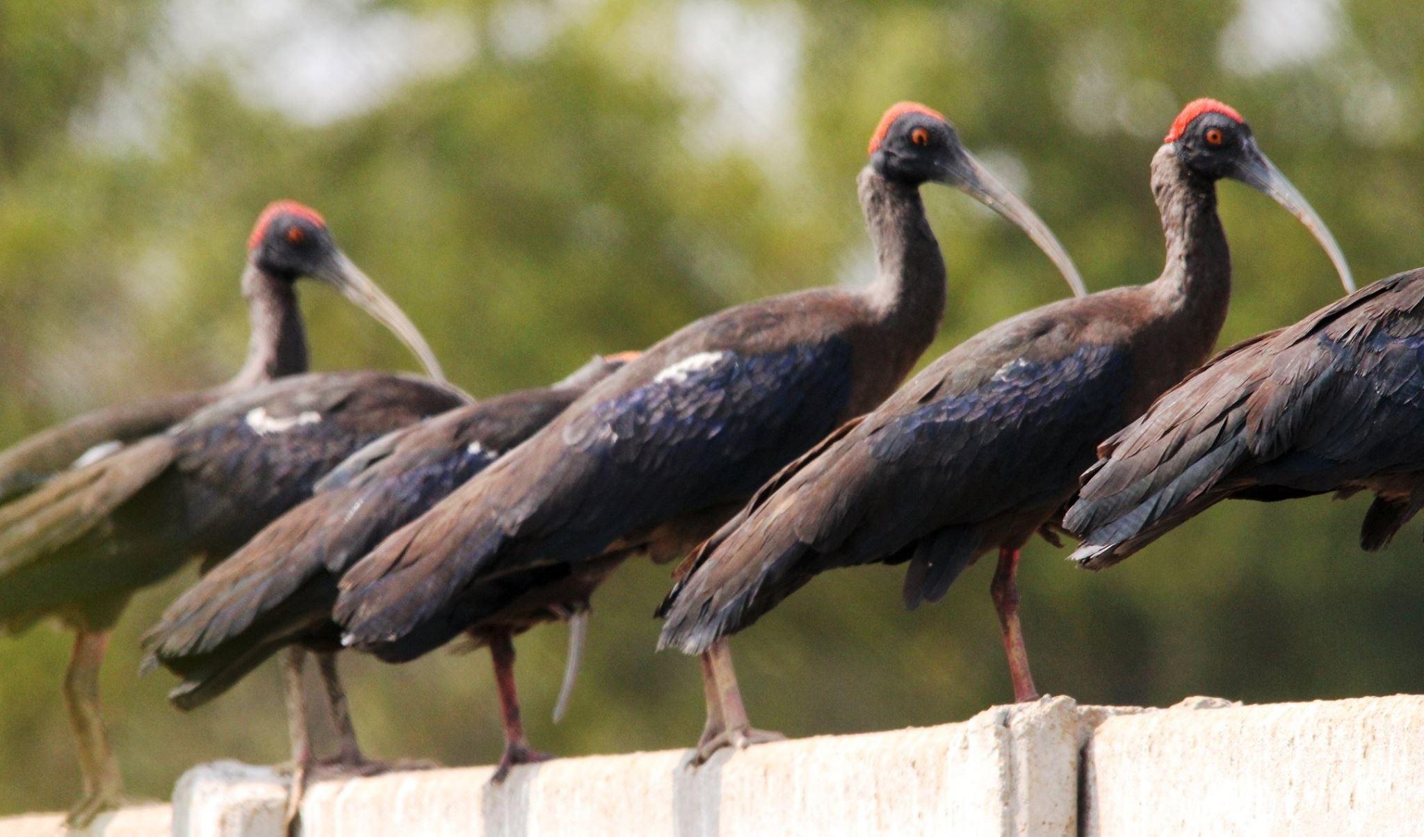 ~~~~~Black Ibis,........! by gajju.tyagi.1