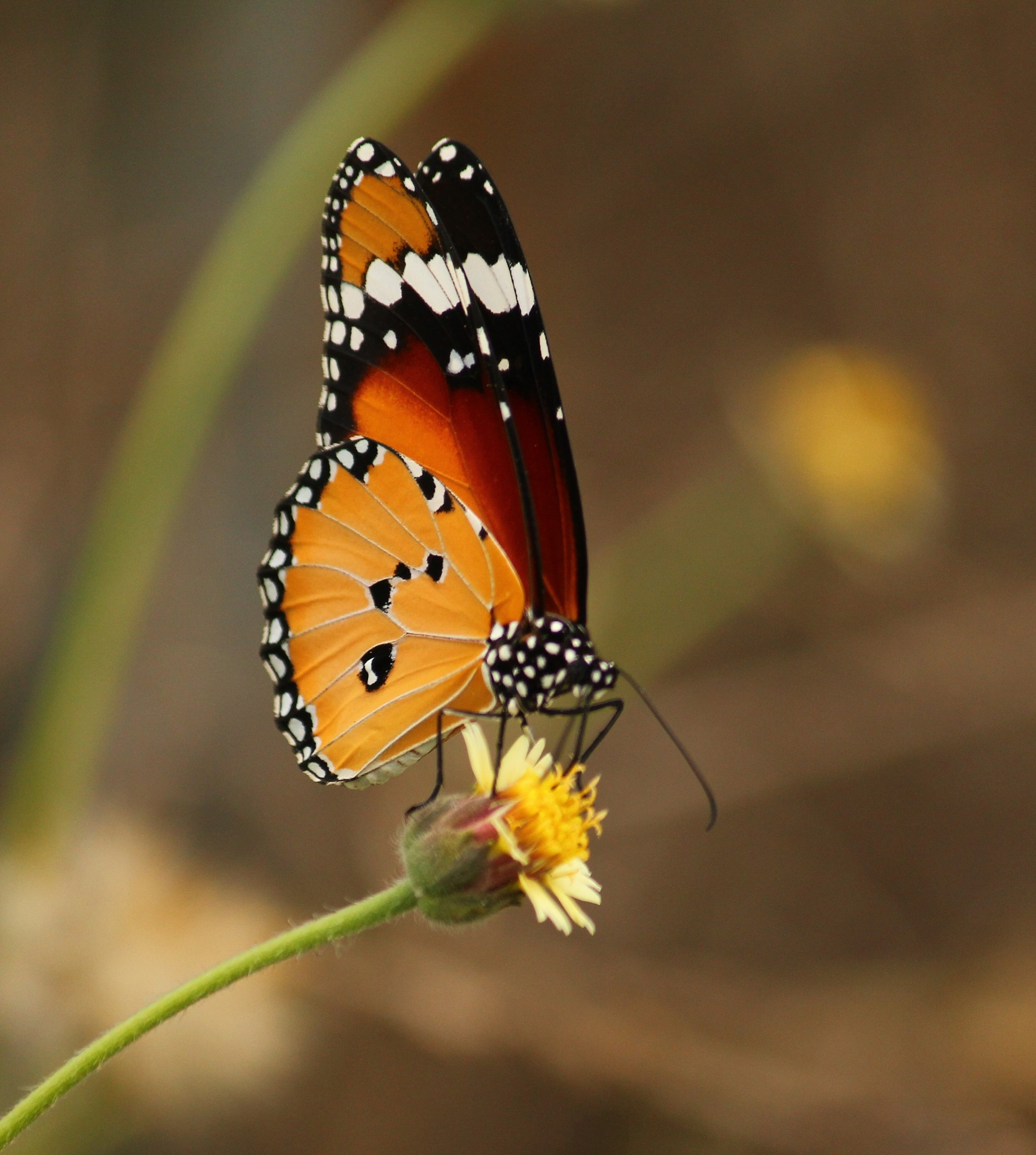 ~~~~~~Weed.s Flower and the Butterfly,.......!!! by gajju.tyagi.1