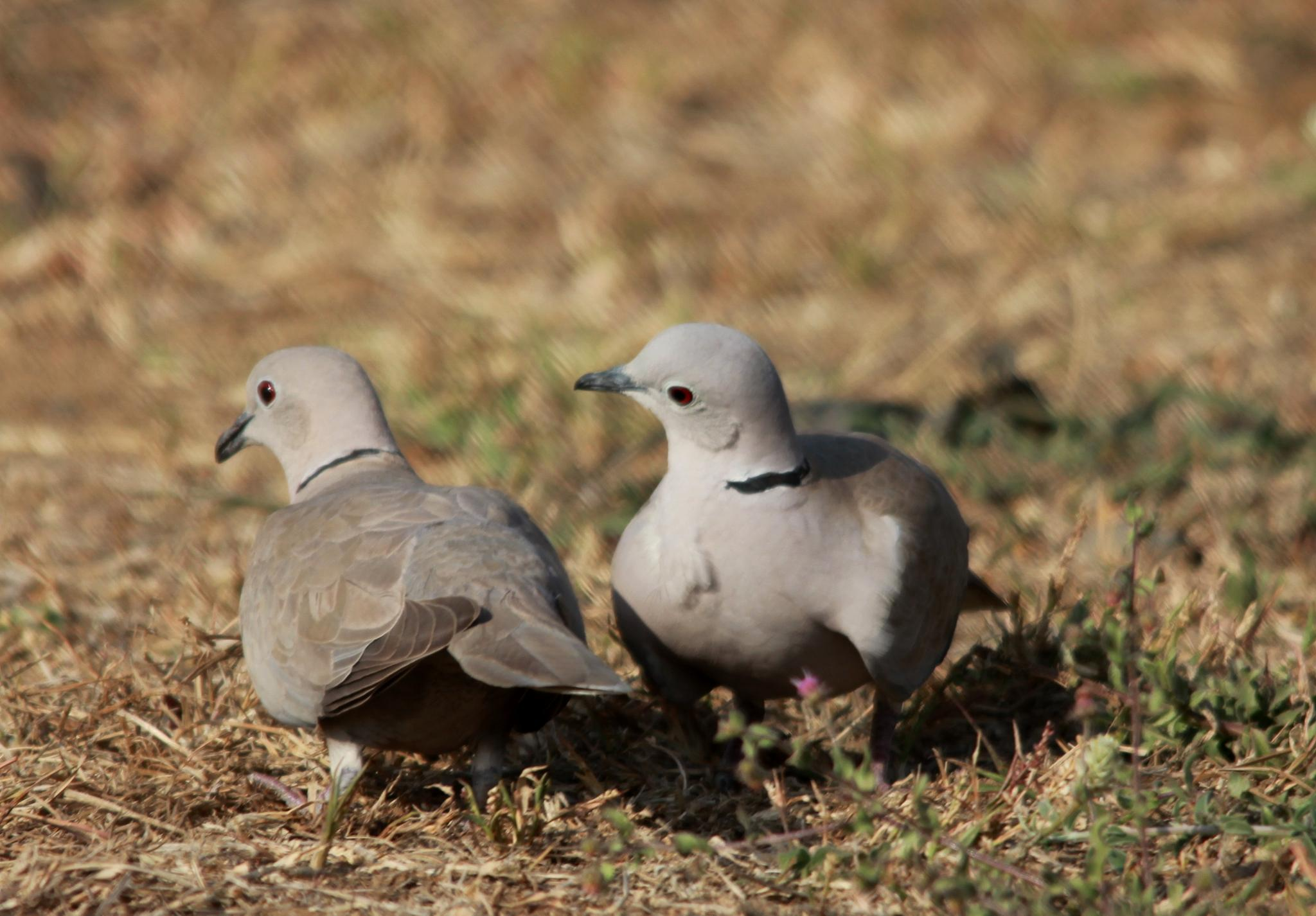 ~~~~ Ring Dove (Strptopelia decaocto). by gajju.tyagi.1