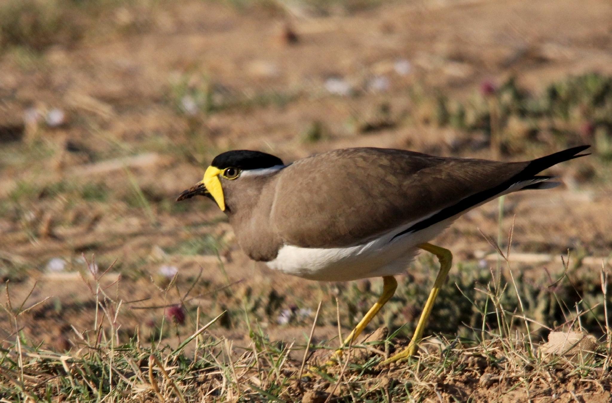 ~~~~ Yellow-wattled Lapwing, (Vanelluss malabaricus)...1 by gajju.tyagi.1