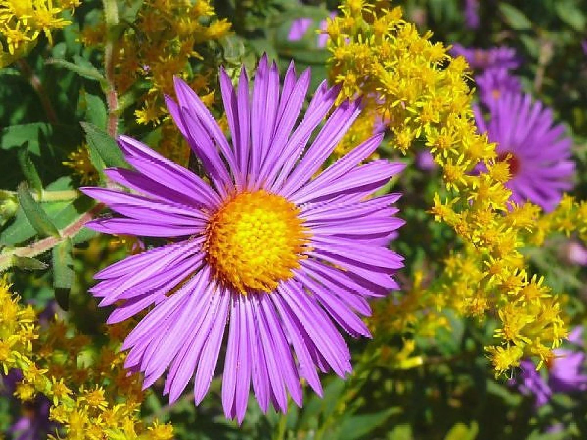 ~~~~. PURPLE FLOWERS..! by gajju.tyagi.1