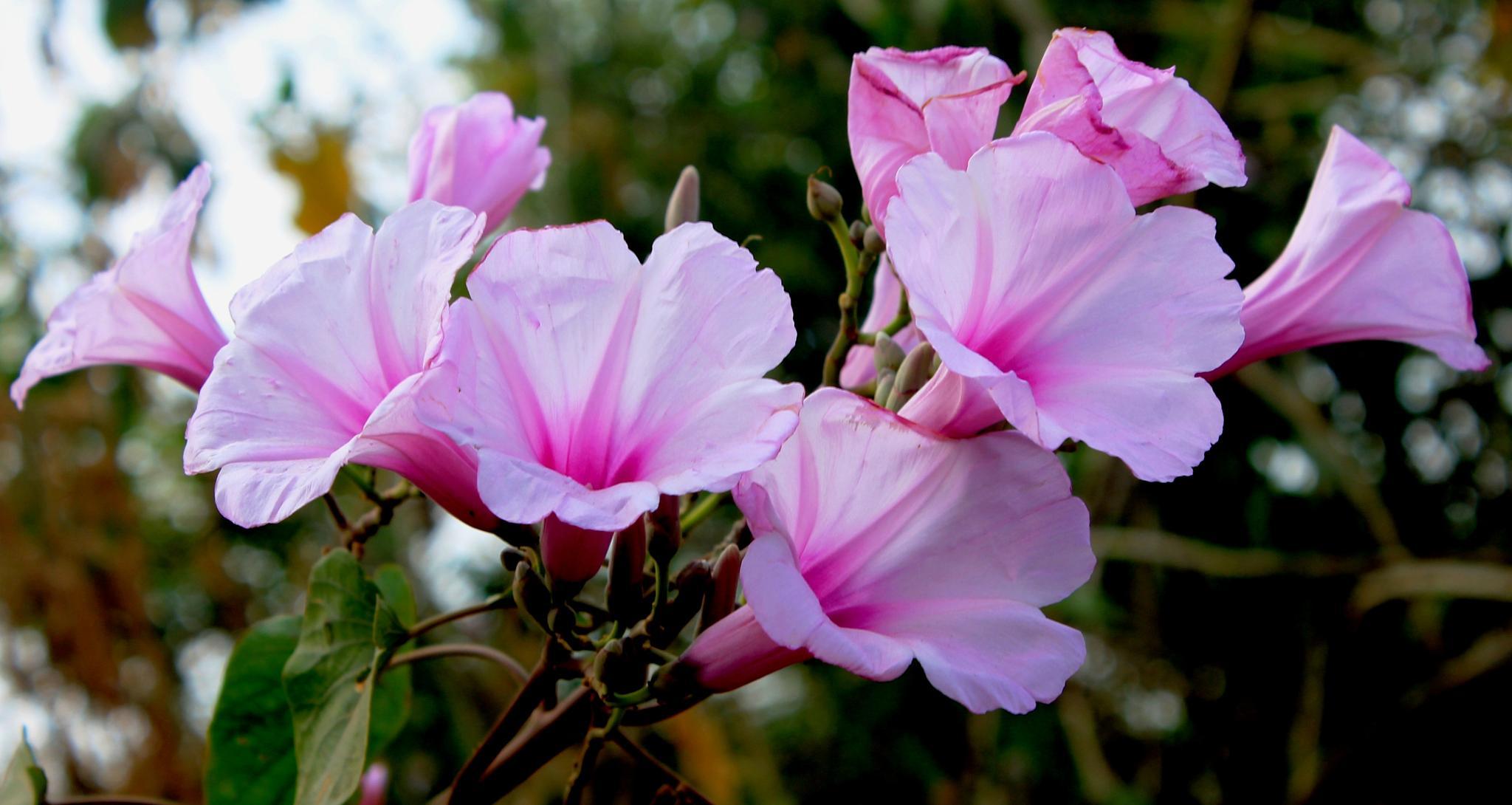 ~~~~~  Road-Side Flowers  (  Nervada-Cannal) by gajju.tyagi.1