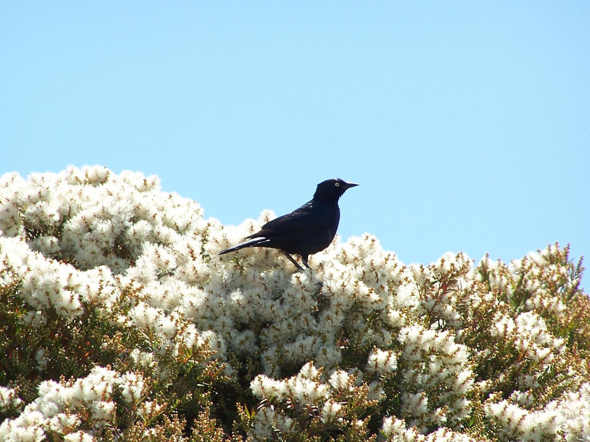 Black-Bird,..~Shoreline~ C A  by gajju.tyagi.1