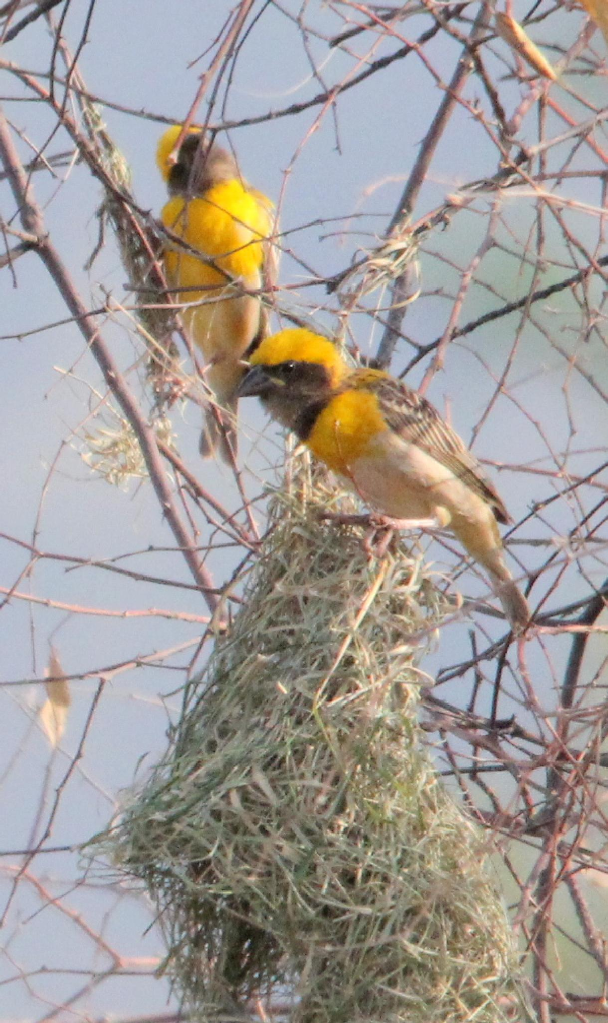 ~~~~ Weaving Birds.......2.! by gajju.tyagi.1