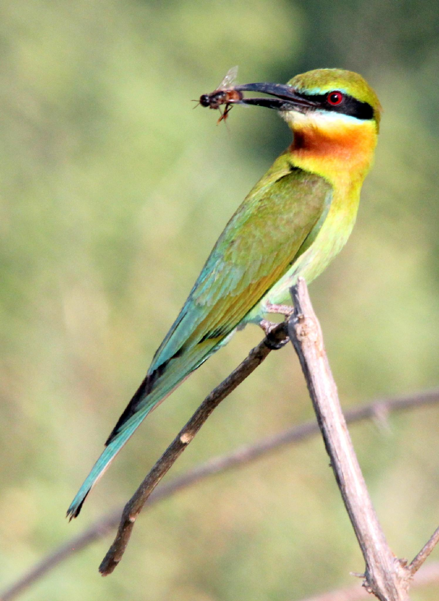 ~~~~ Blue-tailed Bee-Eater...3...! by gajju.tyagi.1