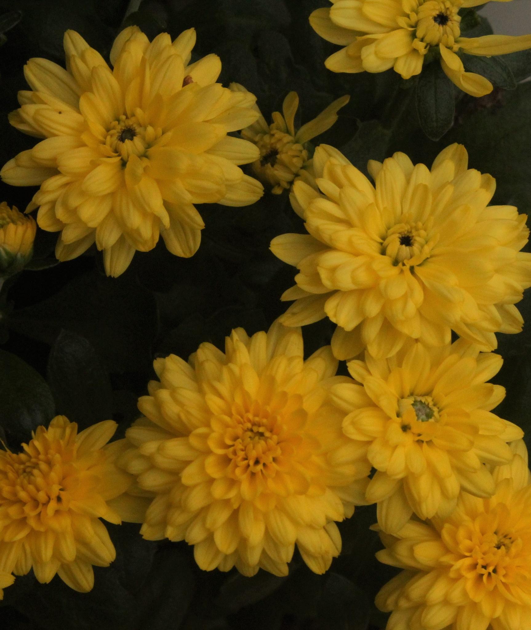 ~~~~~ Yellow Flowers....! by gajju.tyagi.1