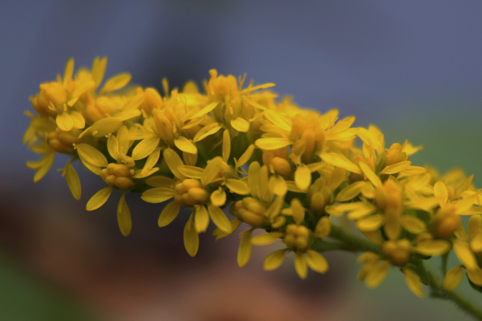~~~~~ Yellow Flowers of the Weeds,.......... ! by gajju.tyagi.1