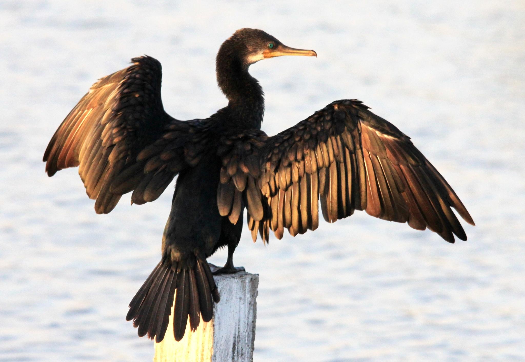 ~~~~~ Large Cormorant,.......!! by gajju.tyagi.1