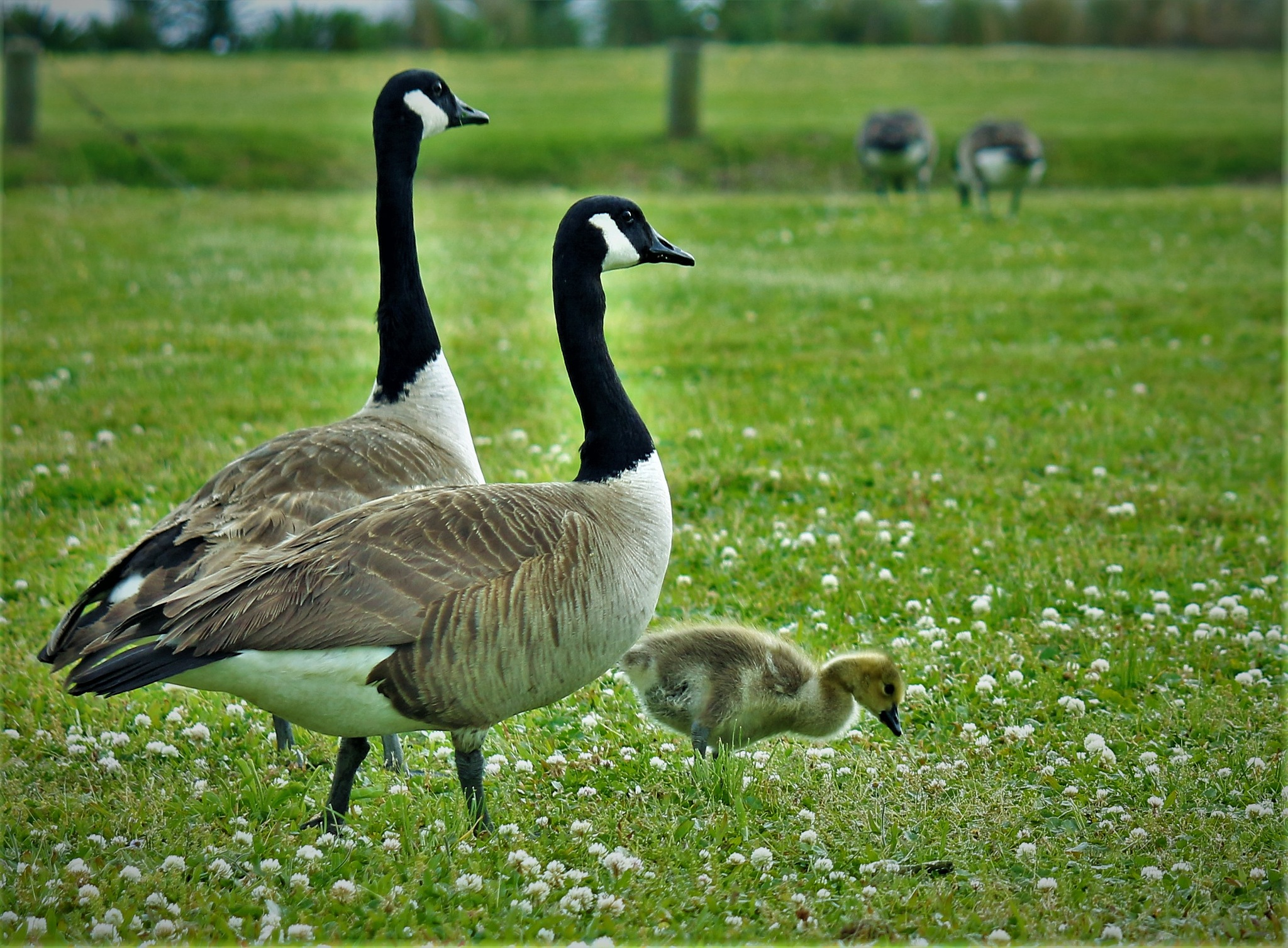 ~~~~~Canadian Geese with the Chick, . . . !! by gajju.tyagi.1
