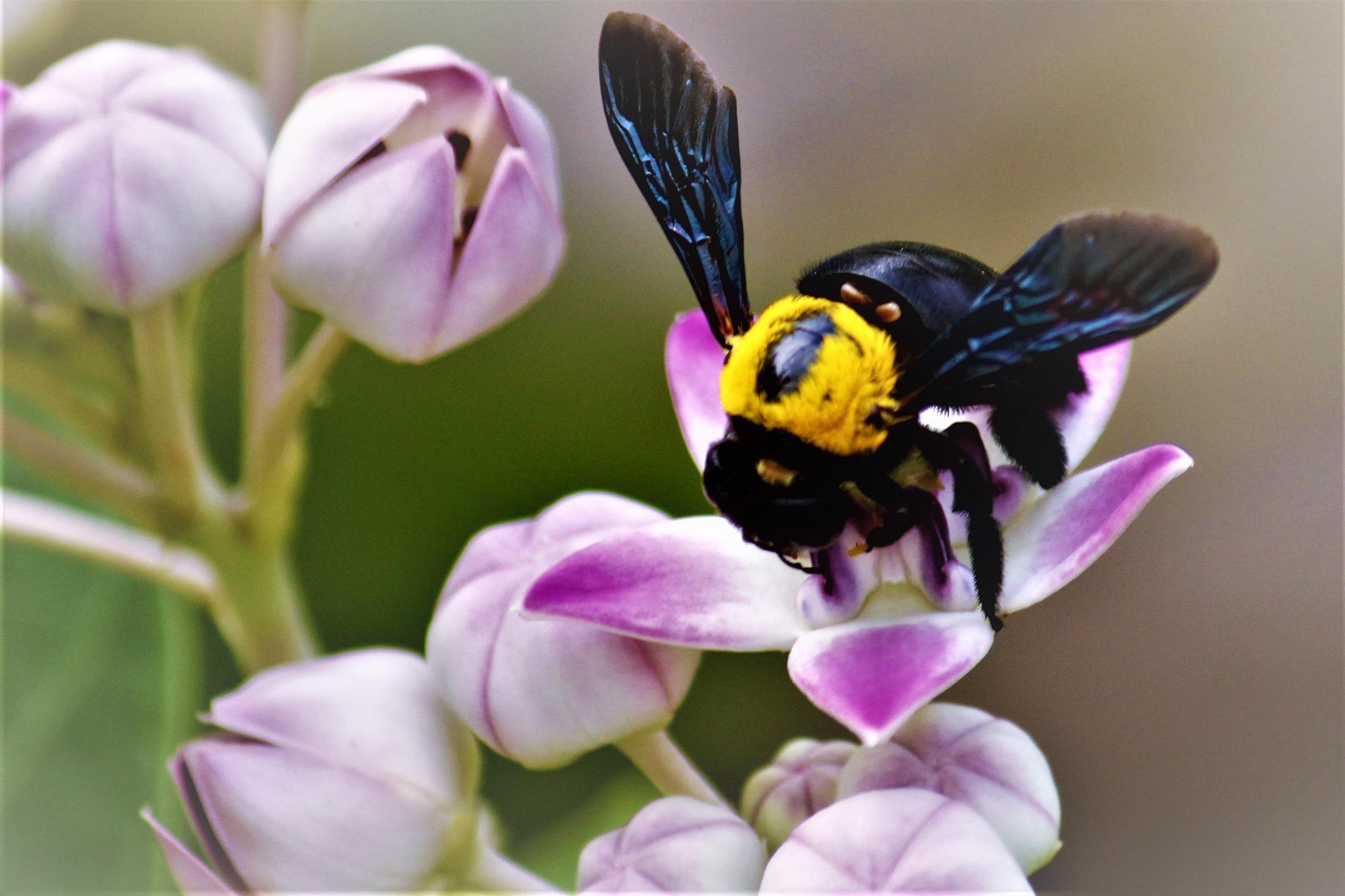 ~~~~~ Aankha Flowers &  Black Carpanter bee,.........!! by gajju.tyagi.1