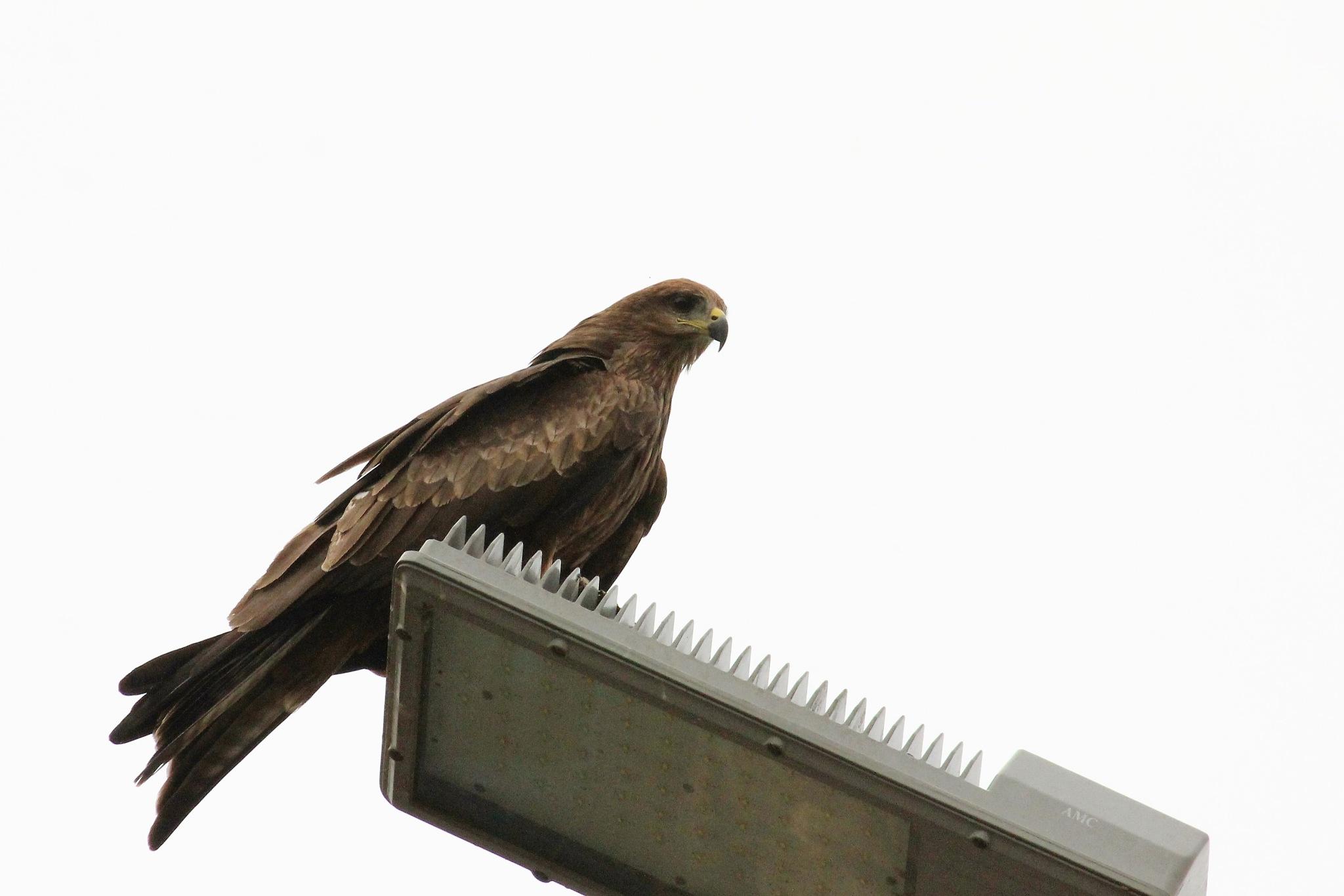 ~~~~~~Black Kite,..........! by gajju.tyagi.1