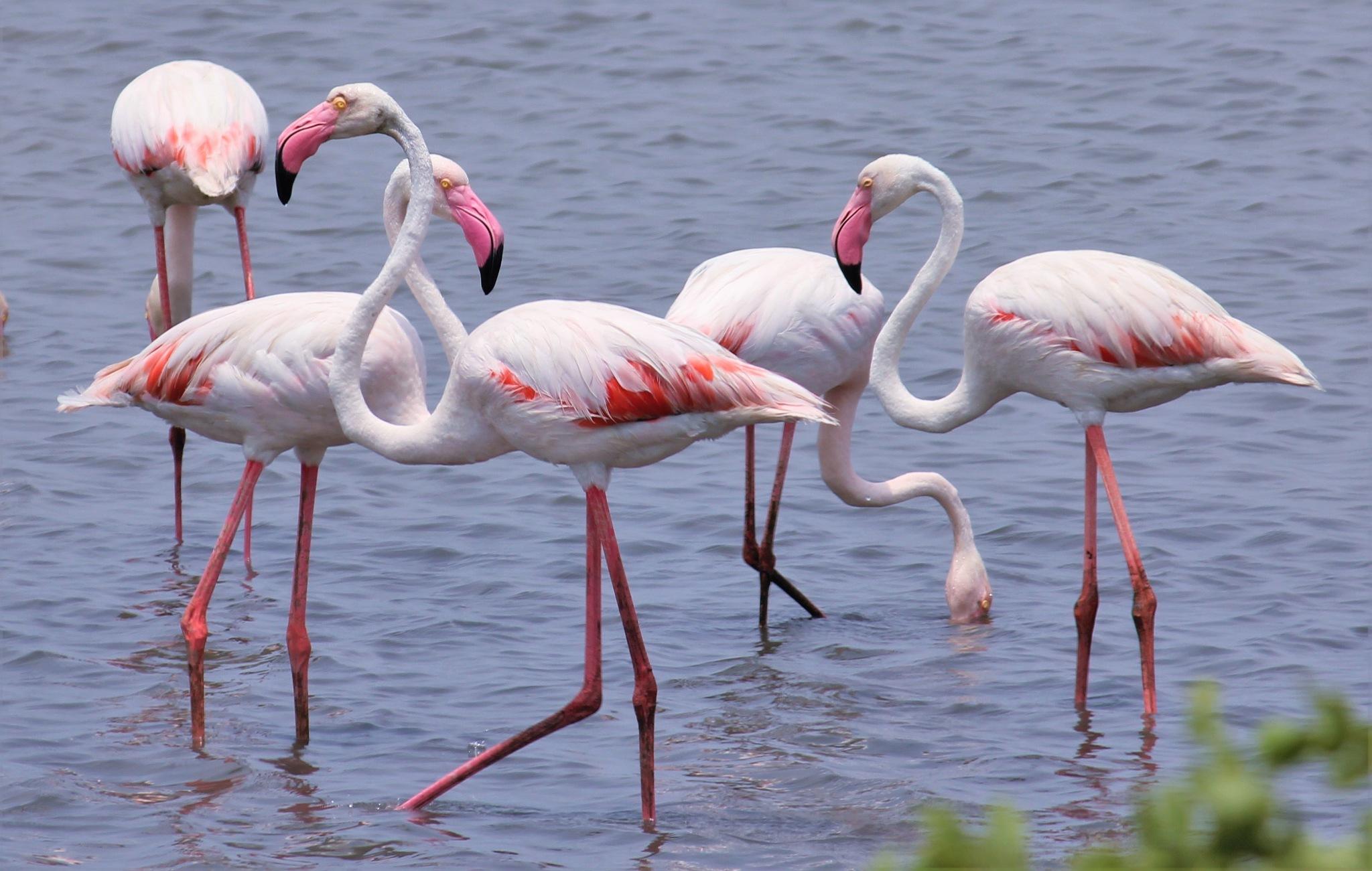 ~~~~~Greater Flamingos,...........!!! by gajju.tyagi.1