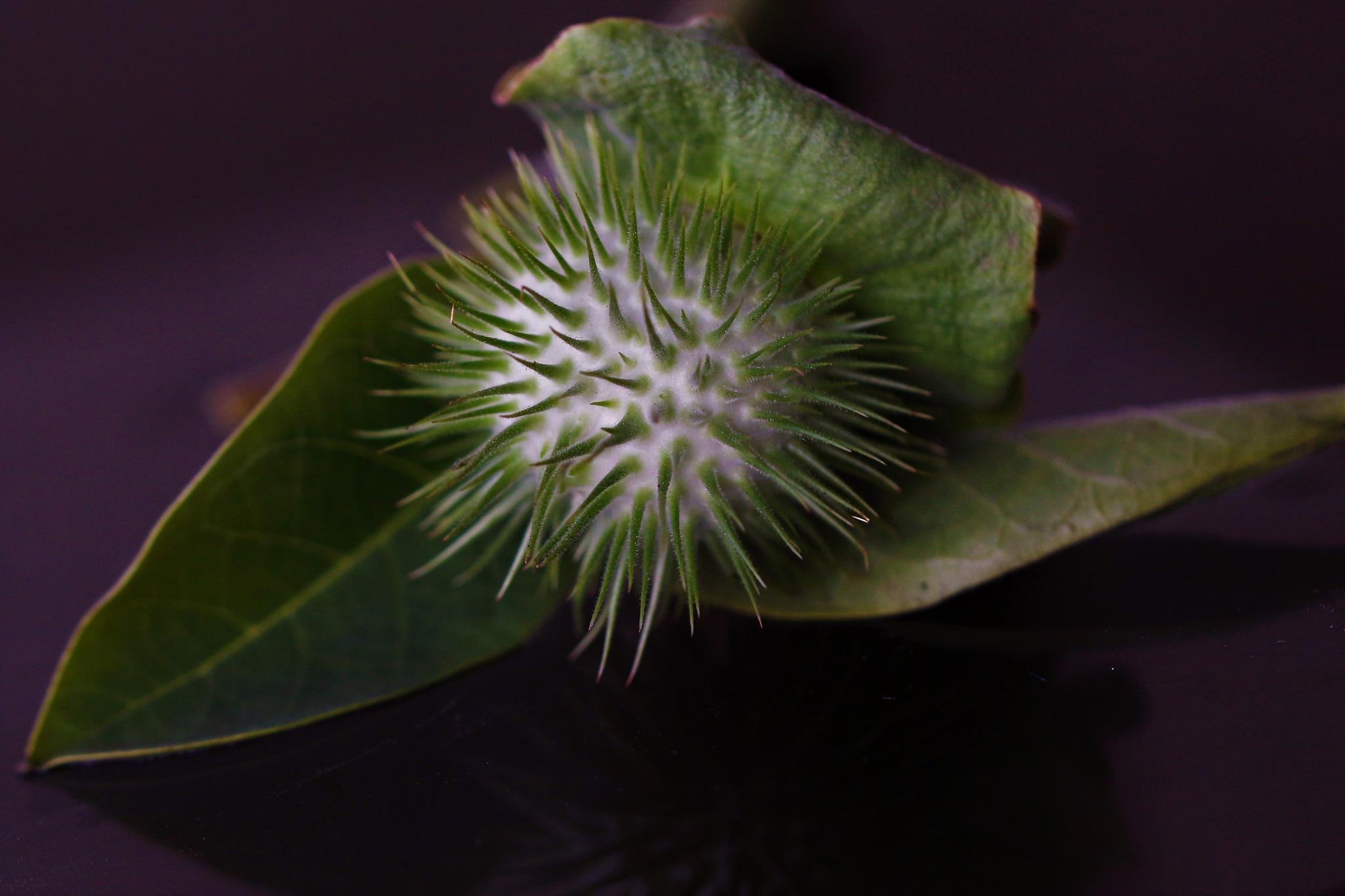~~~~~White Datura Seeds,........!! by gajju.tyagi.1