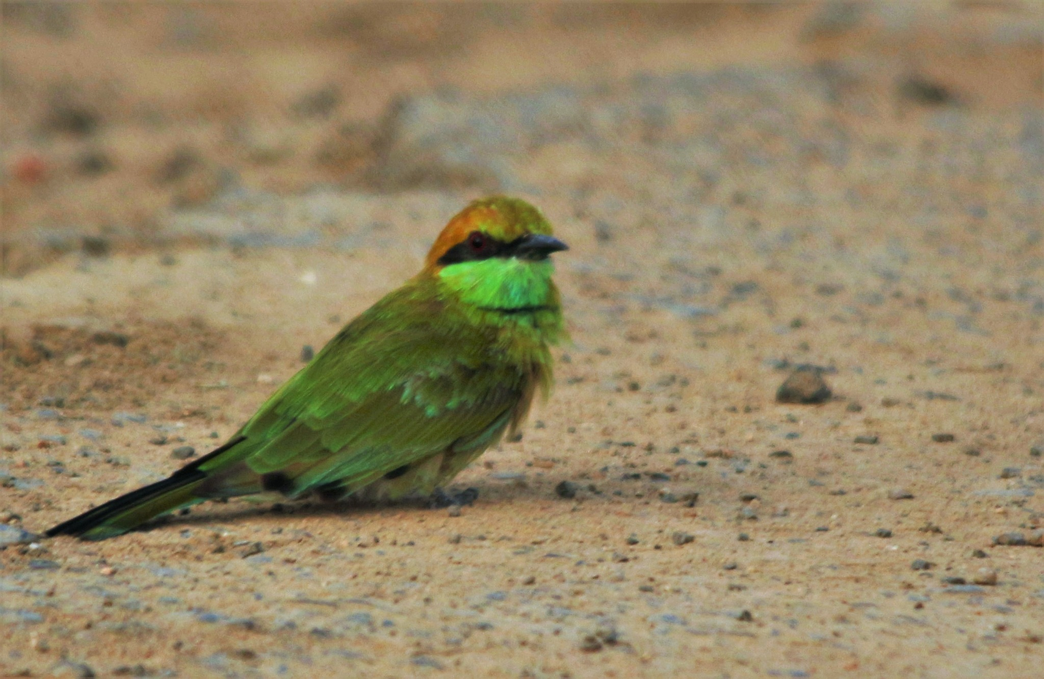 ~~~~~Green Bee eater, going for  a Sand-bath,.......! by gajju.tyagi.1