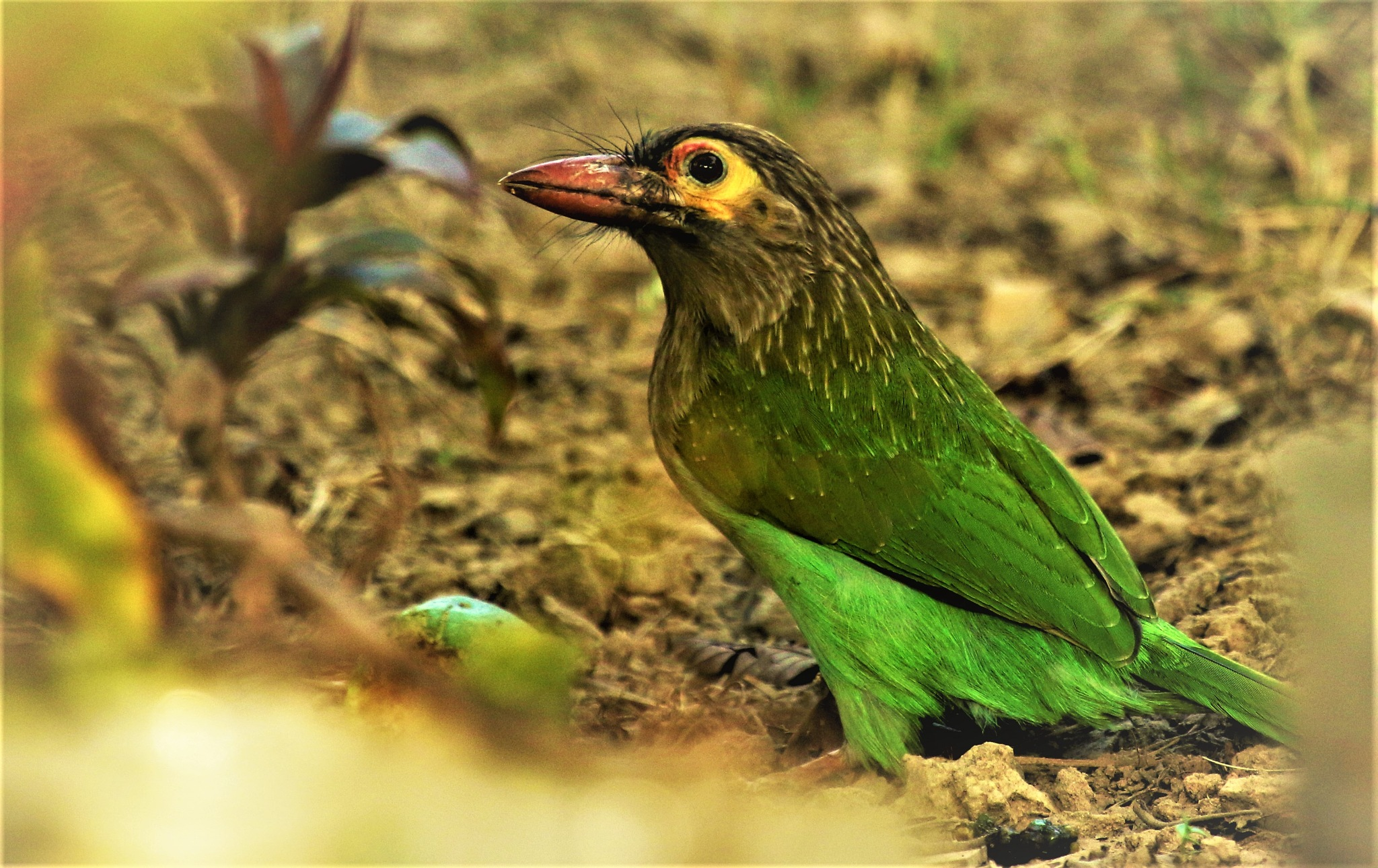 ~~~~ Large Green Barbet, . . . . !! by gajju.tyagi.1