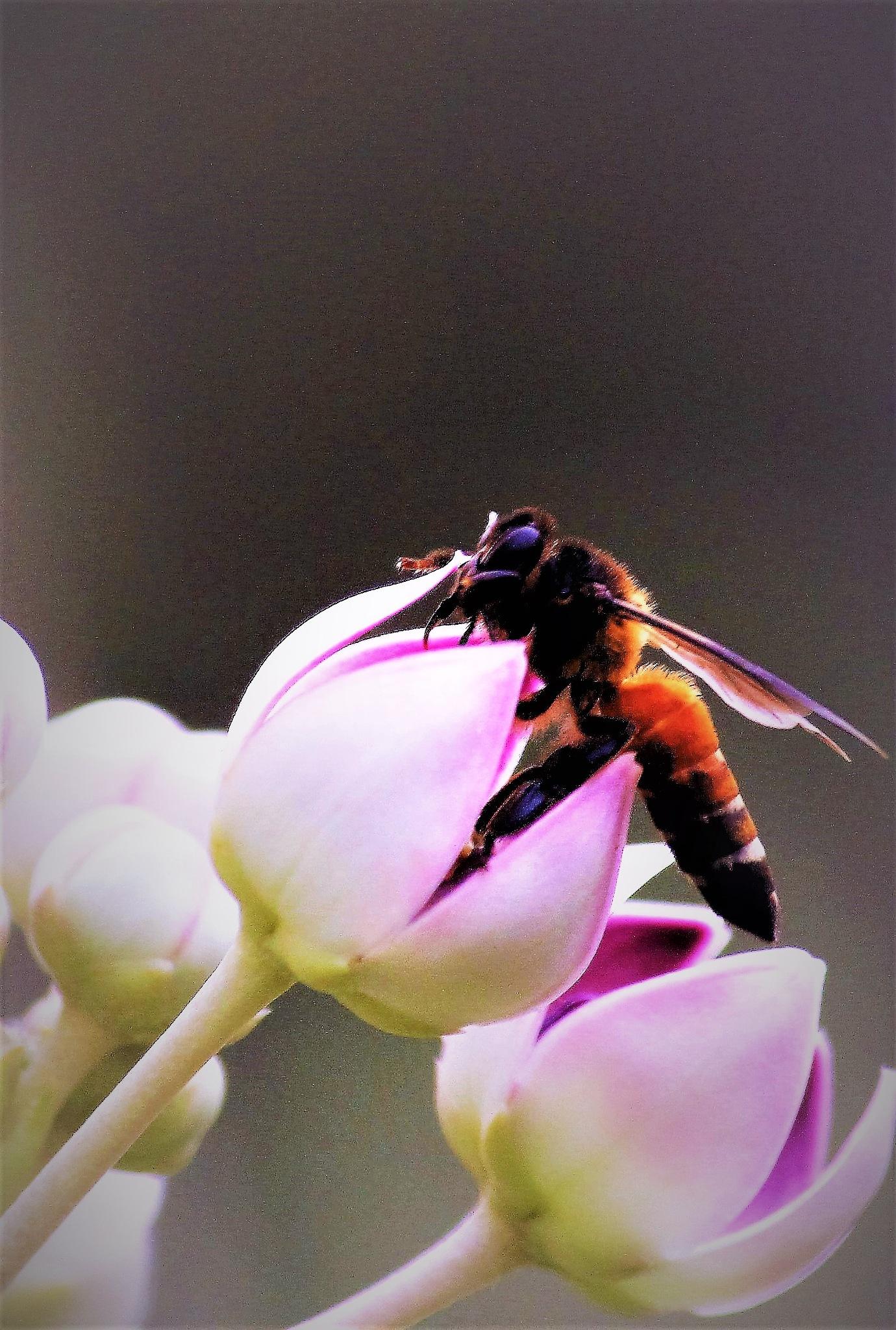 ~~~~~Bumblebee on a Crown Flower,.......!! by gajju.tyagi.1
