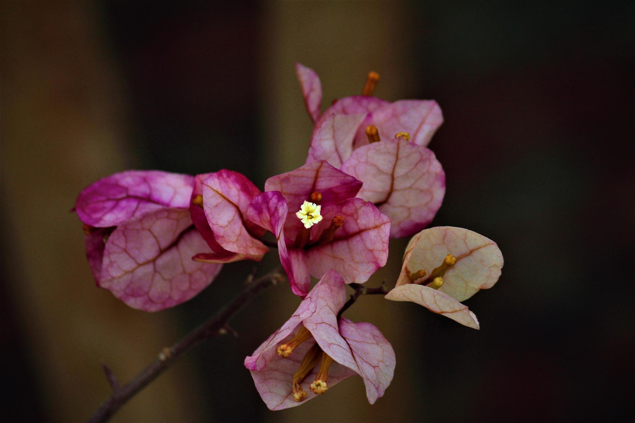 ~~~~~~~ Bougainvillea flowers,.......!! by gajju.tyagi.1