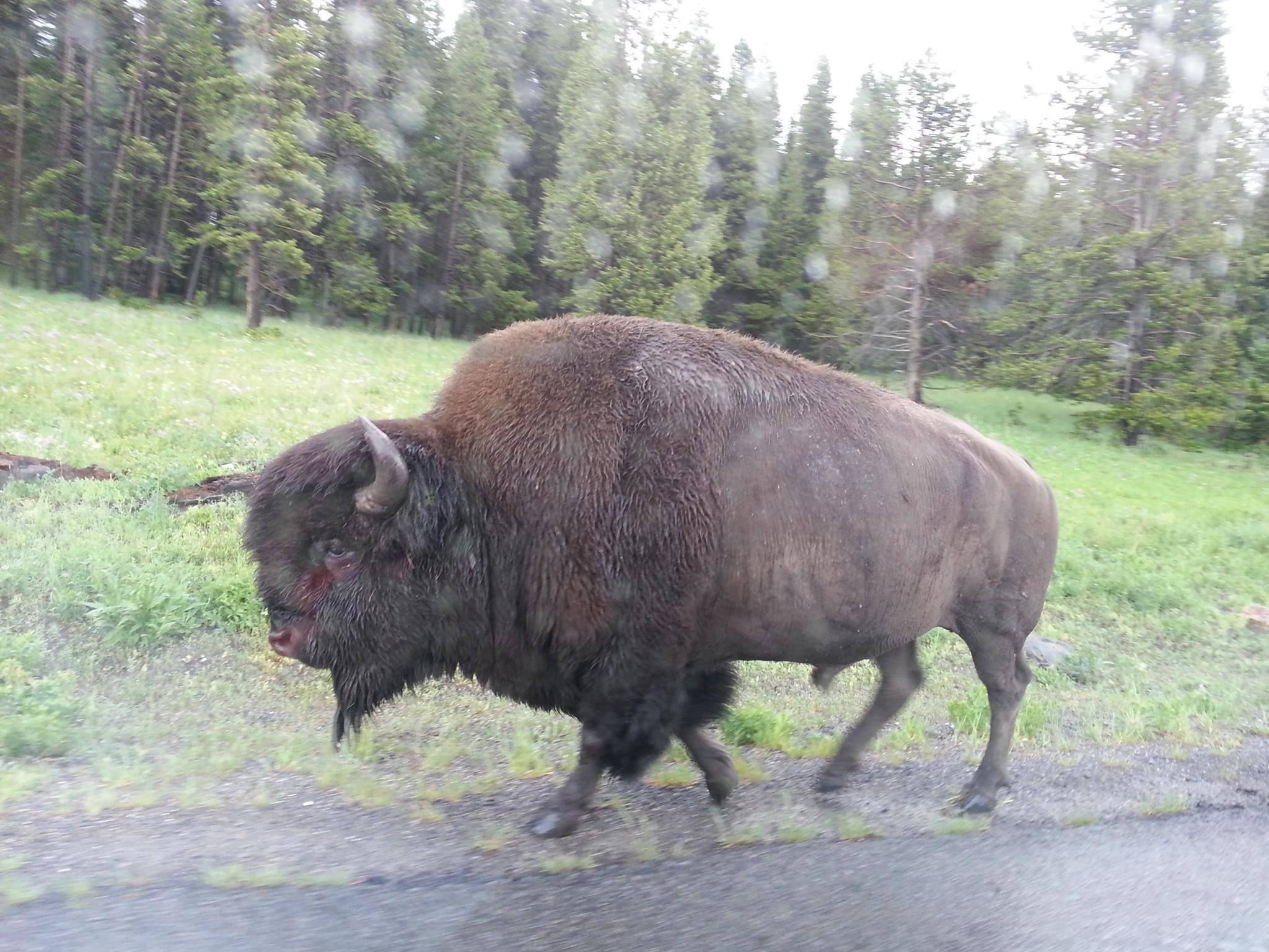 Buffalo  by drcarlosesparza