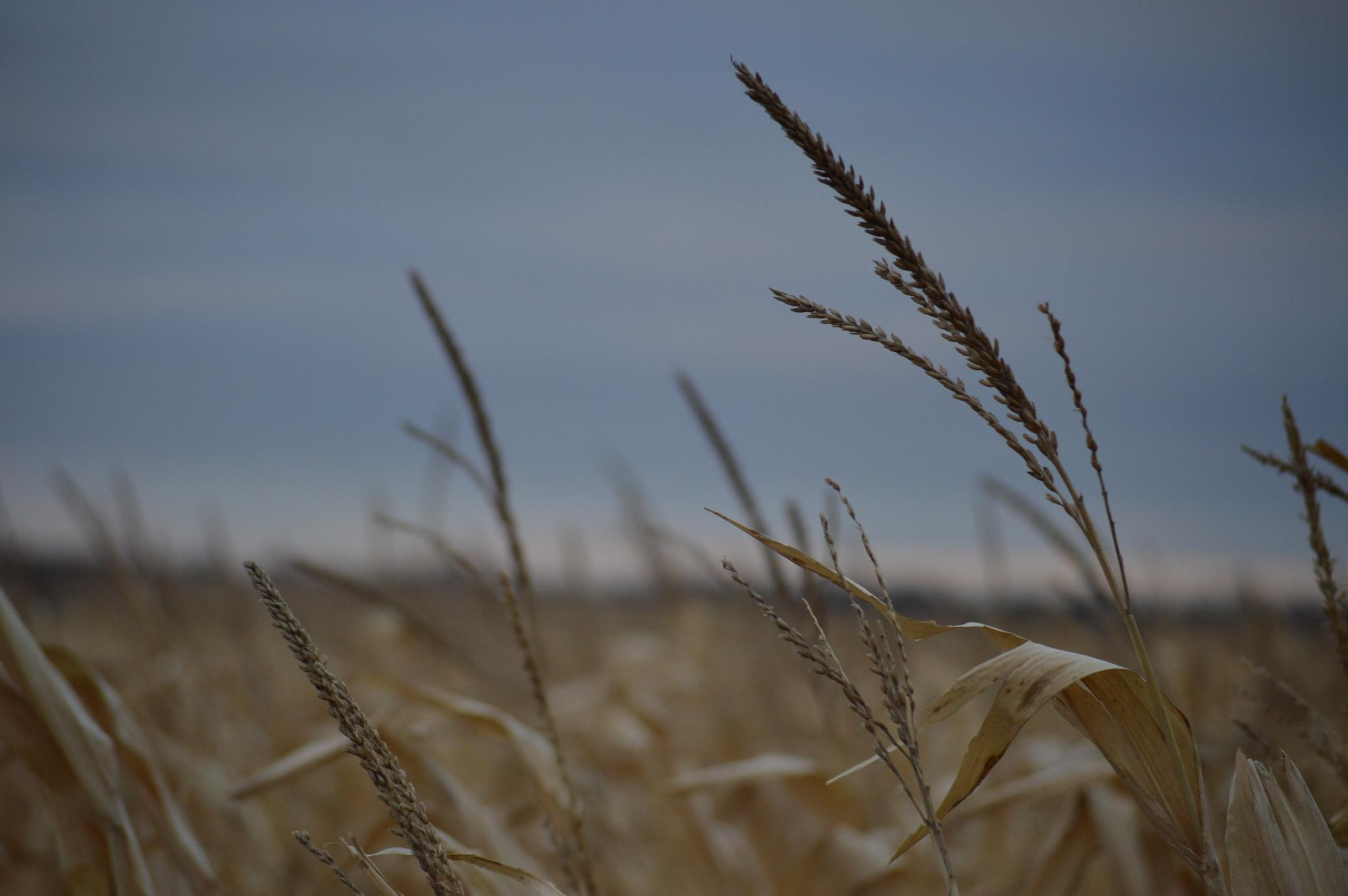 Corn fields during the harvest by drcarlosesparza