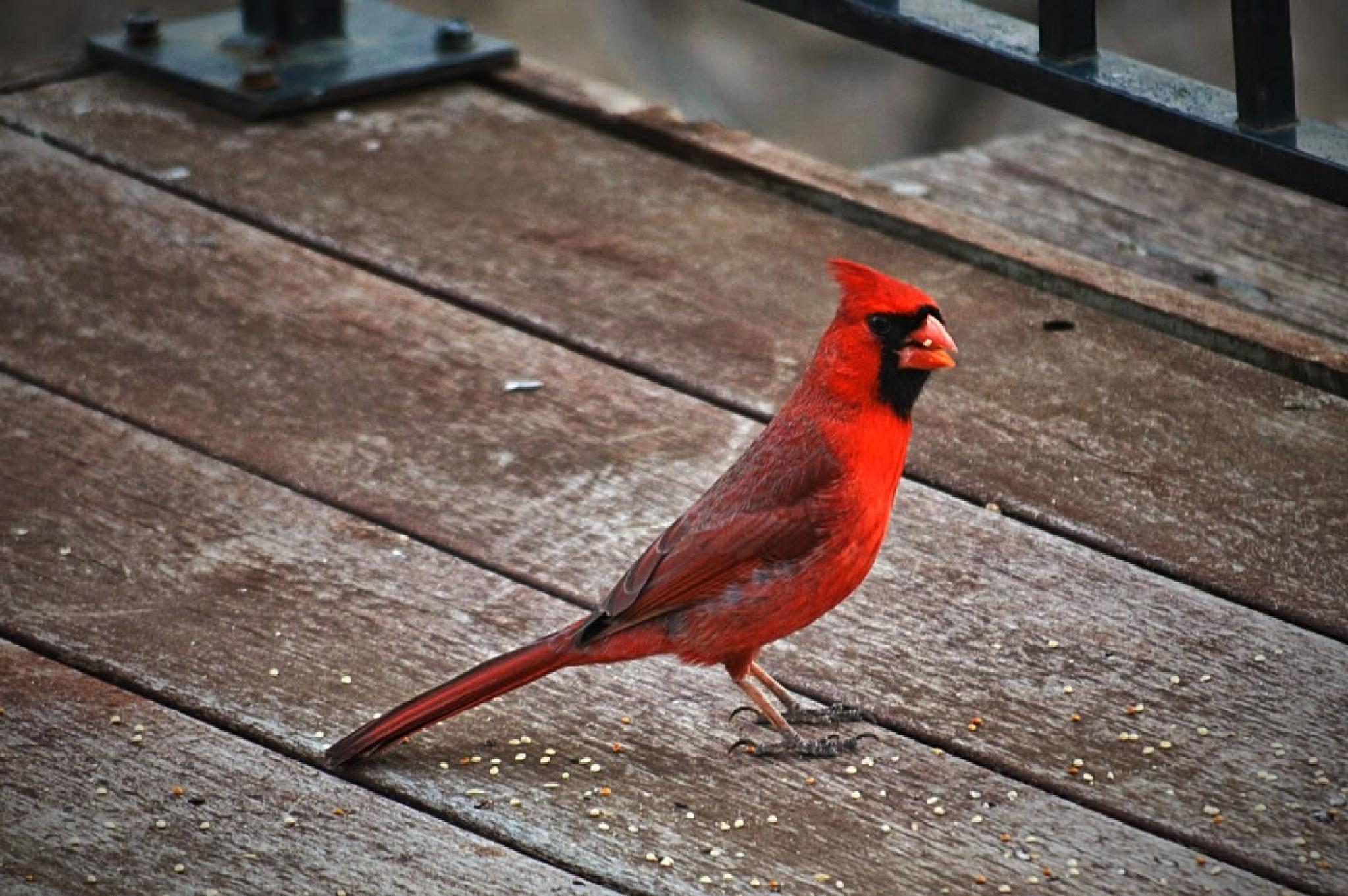 Cardinal 2 by drcarlosesparza