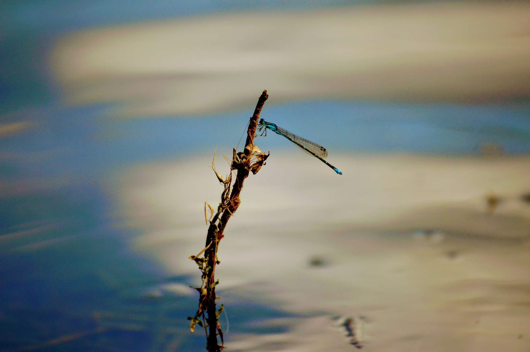 Blue Dragonfly by drcarlosesparza