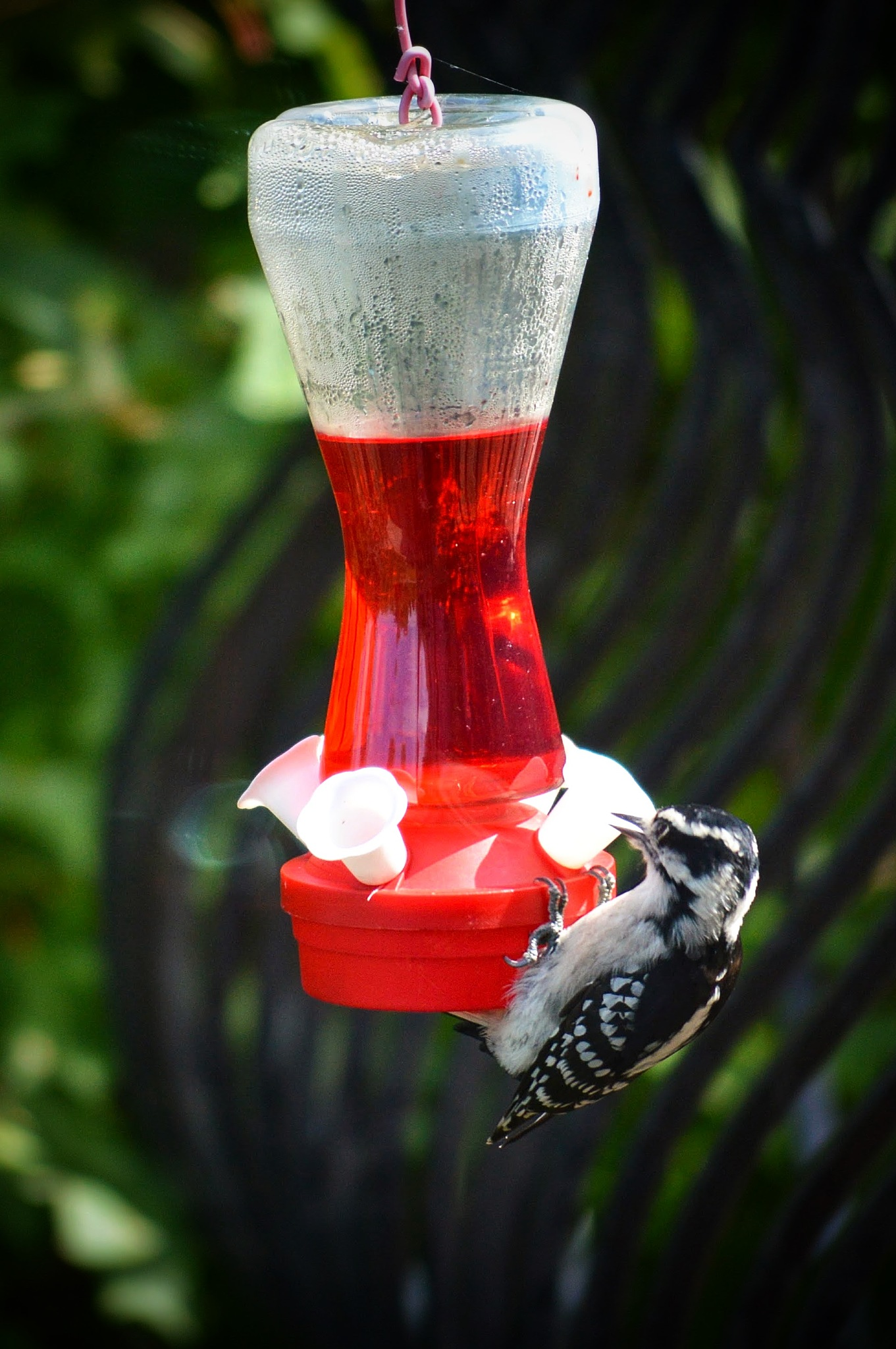 Carpenter bird as a Hummingbird by drcarlosesparza